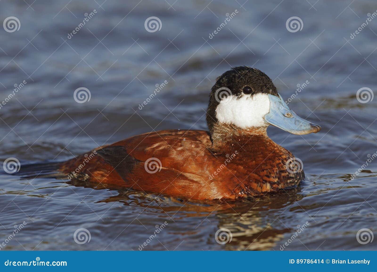 Męska Rumiana kaczka - Santee jeziora, San Diego, Kalifornia
