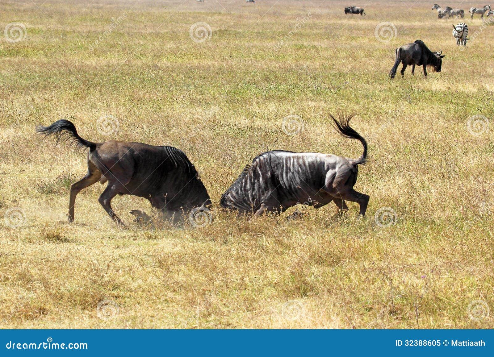 Męski błękitny wildebeests walczyć