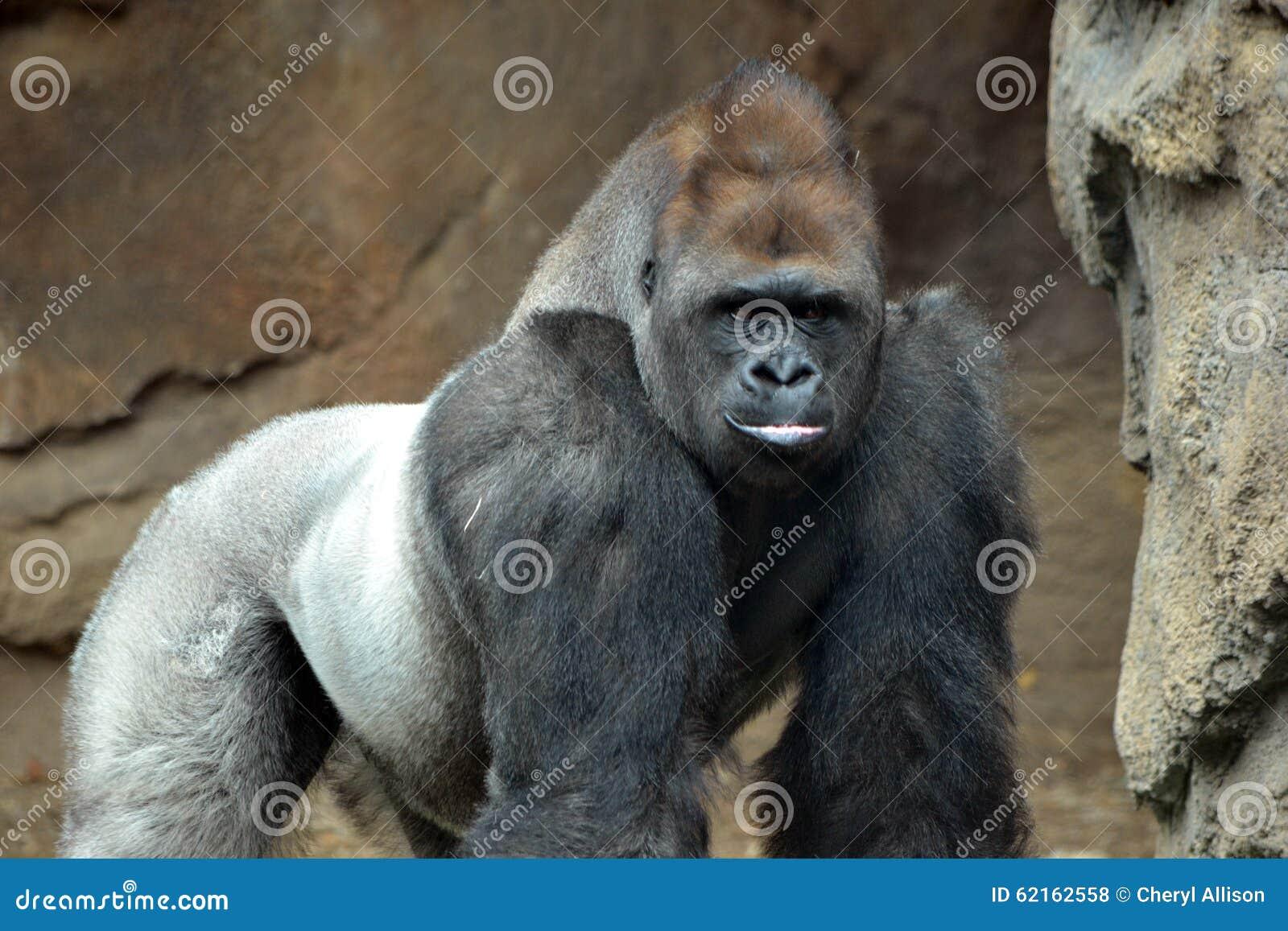 Męski goryl