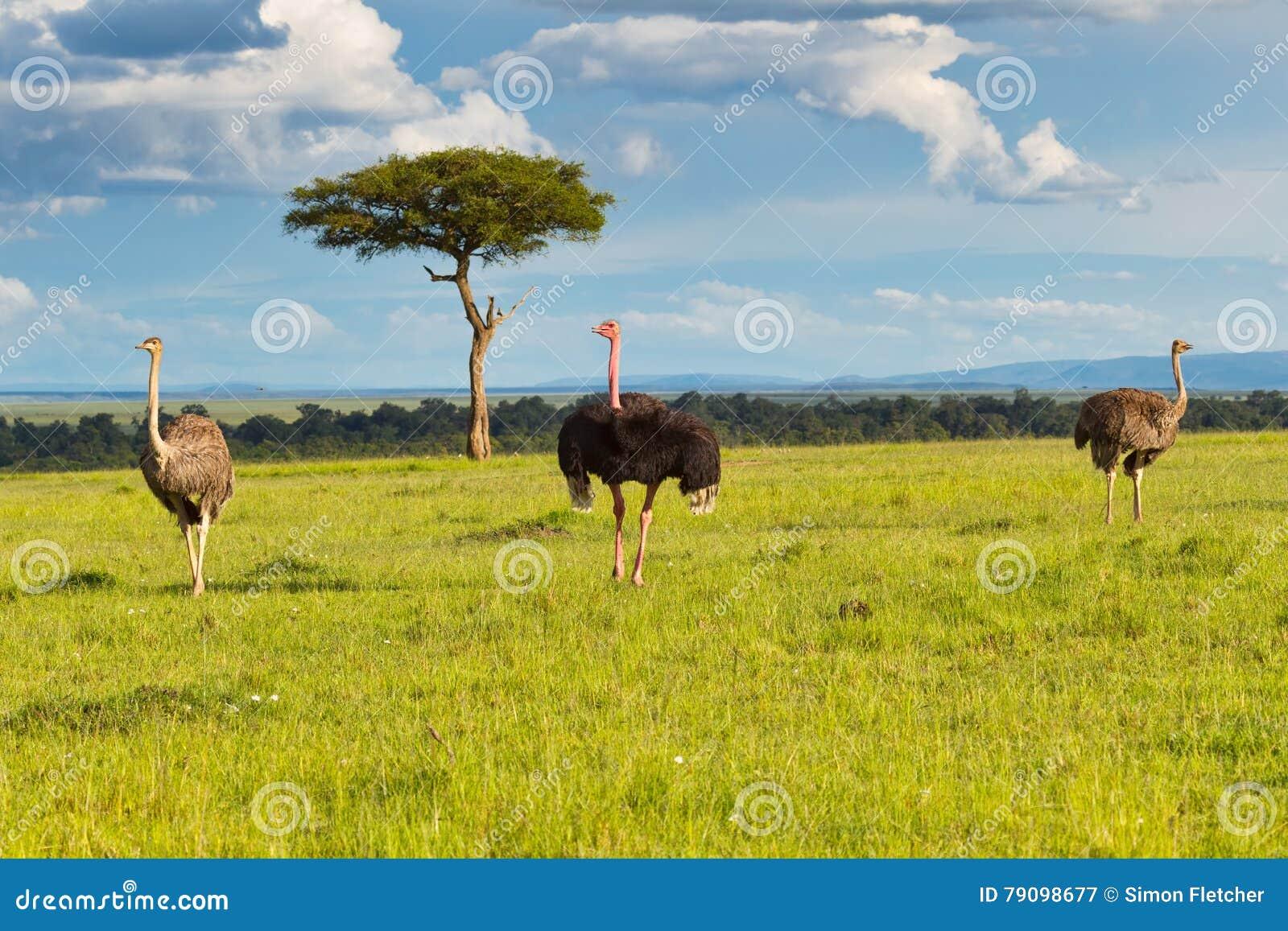Męski i Haremowy Pospolity struś Plus Masai Mara krajobraz