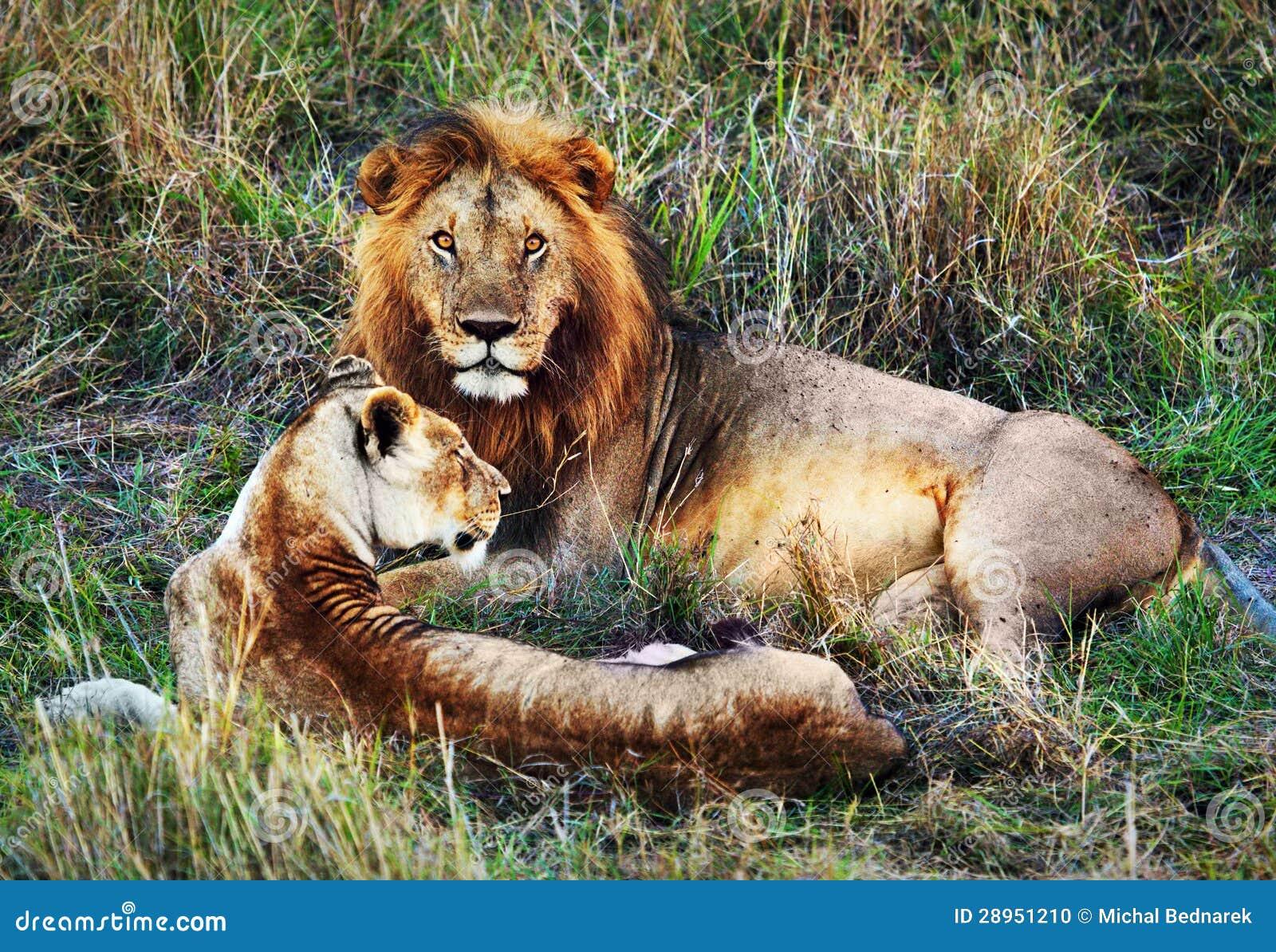 Męski lew i kobieta lew. Safari w Serengeti, Tanzania, Afryka