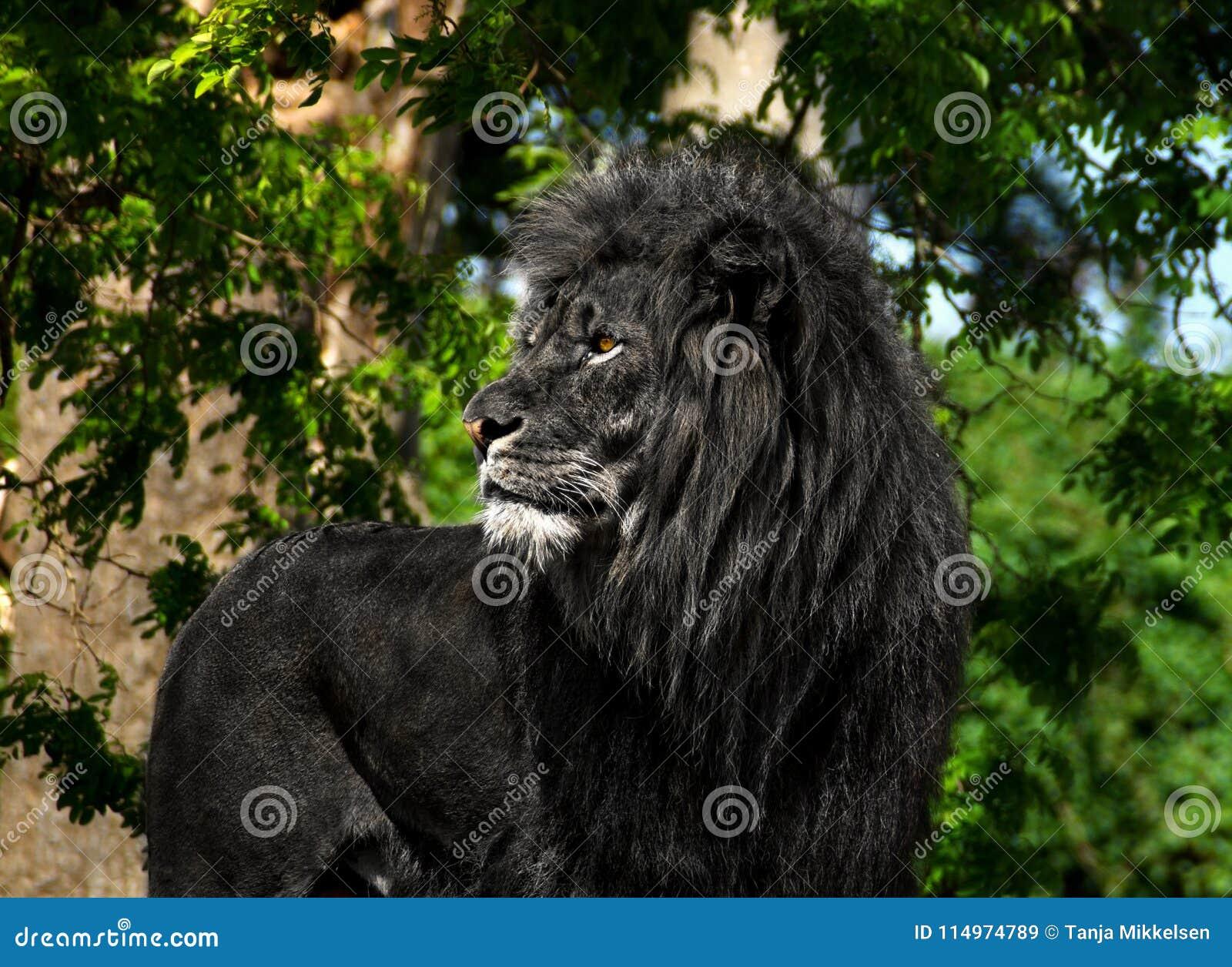 Męski lew w czerni