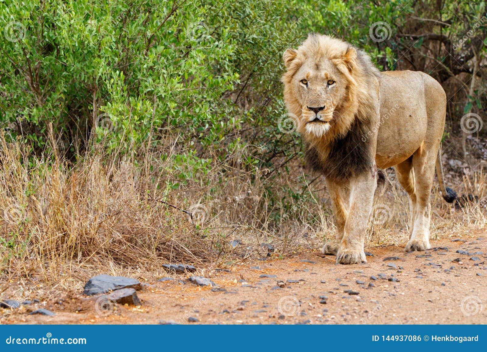 Męski lew w Kruger NP - Południowa Afryka