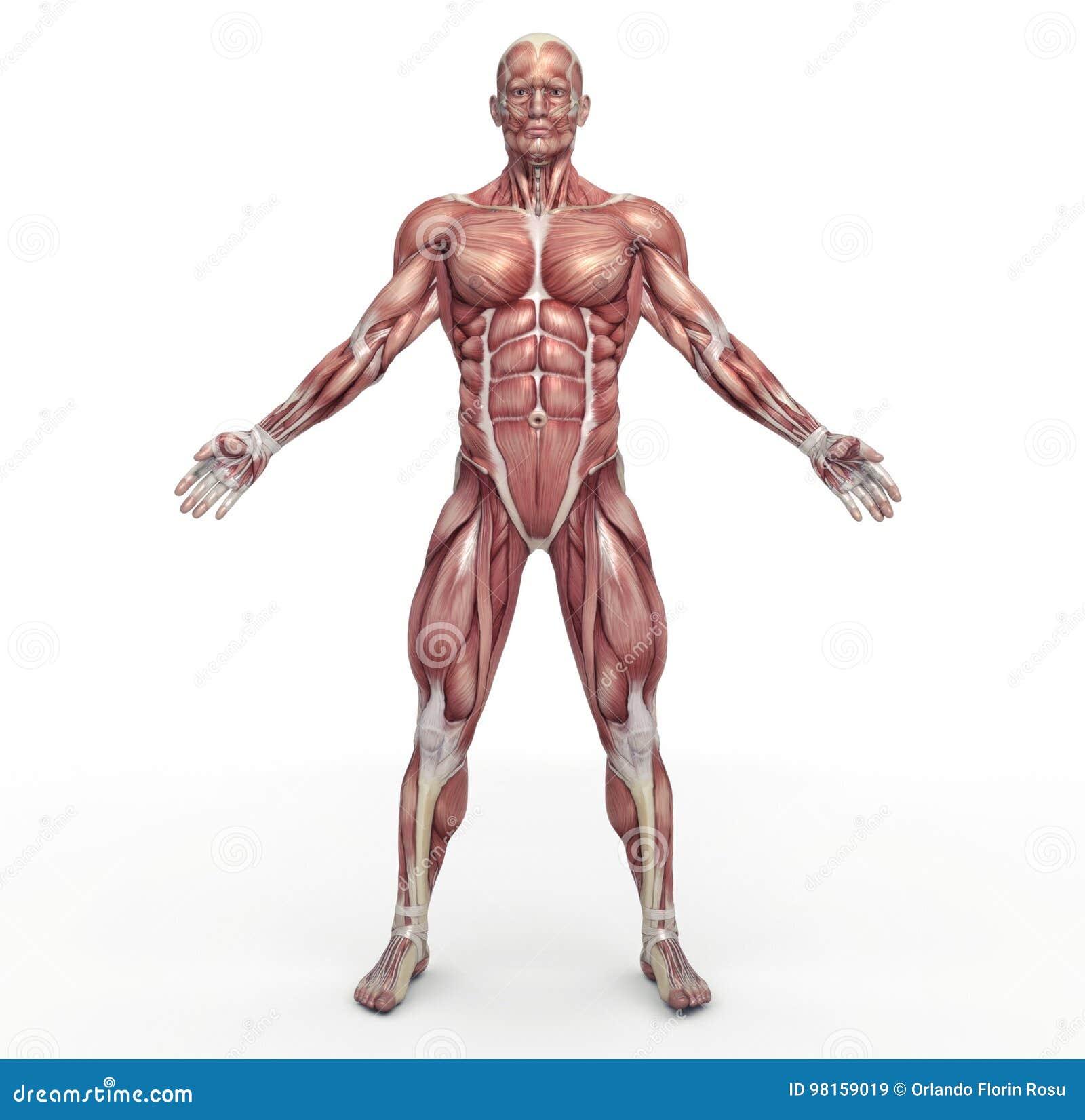 Męski mięśniowy system