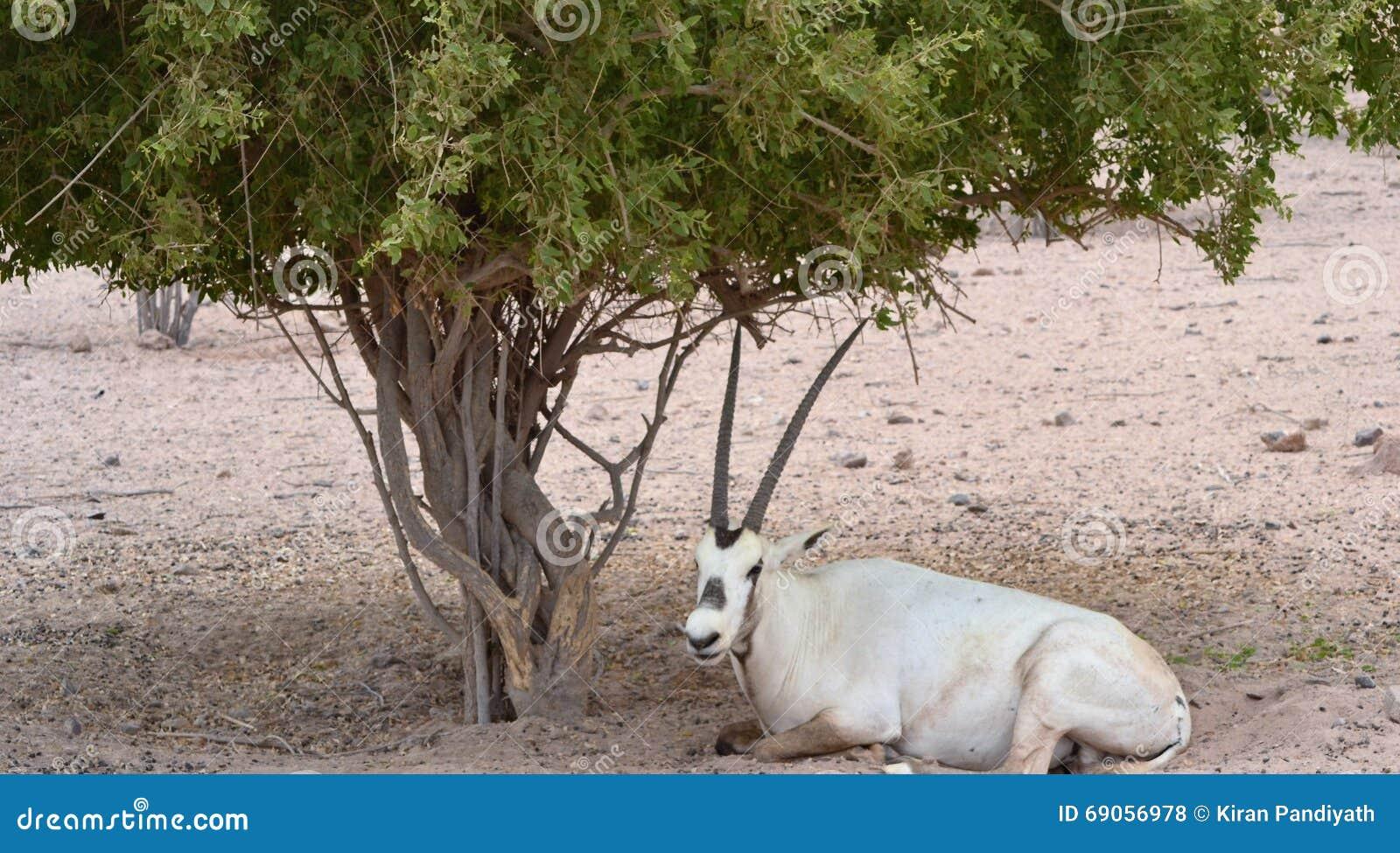 Męski oryx odpoczywa pod pustynnym drzewem, Sir Baniyas Wyspa Rezerwująca