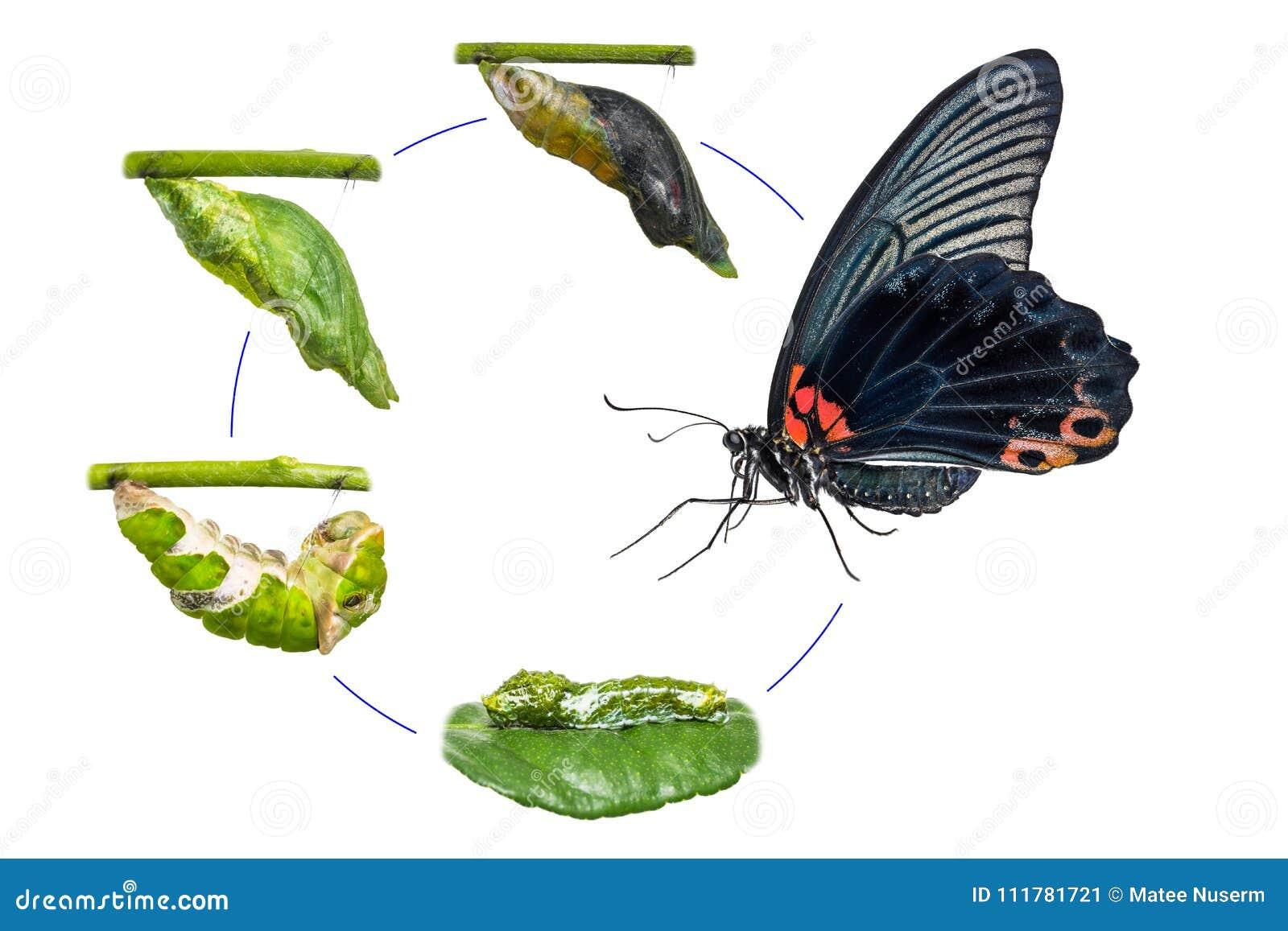 Męski Wielki mormonu Papilio memnon motyla etap życia