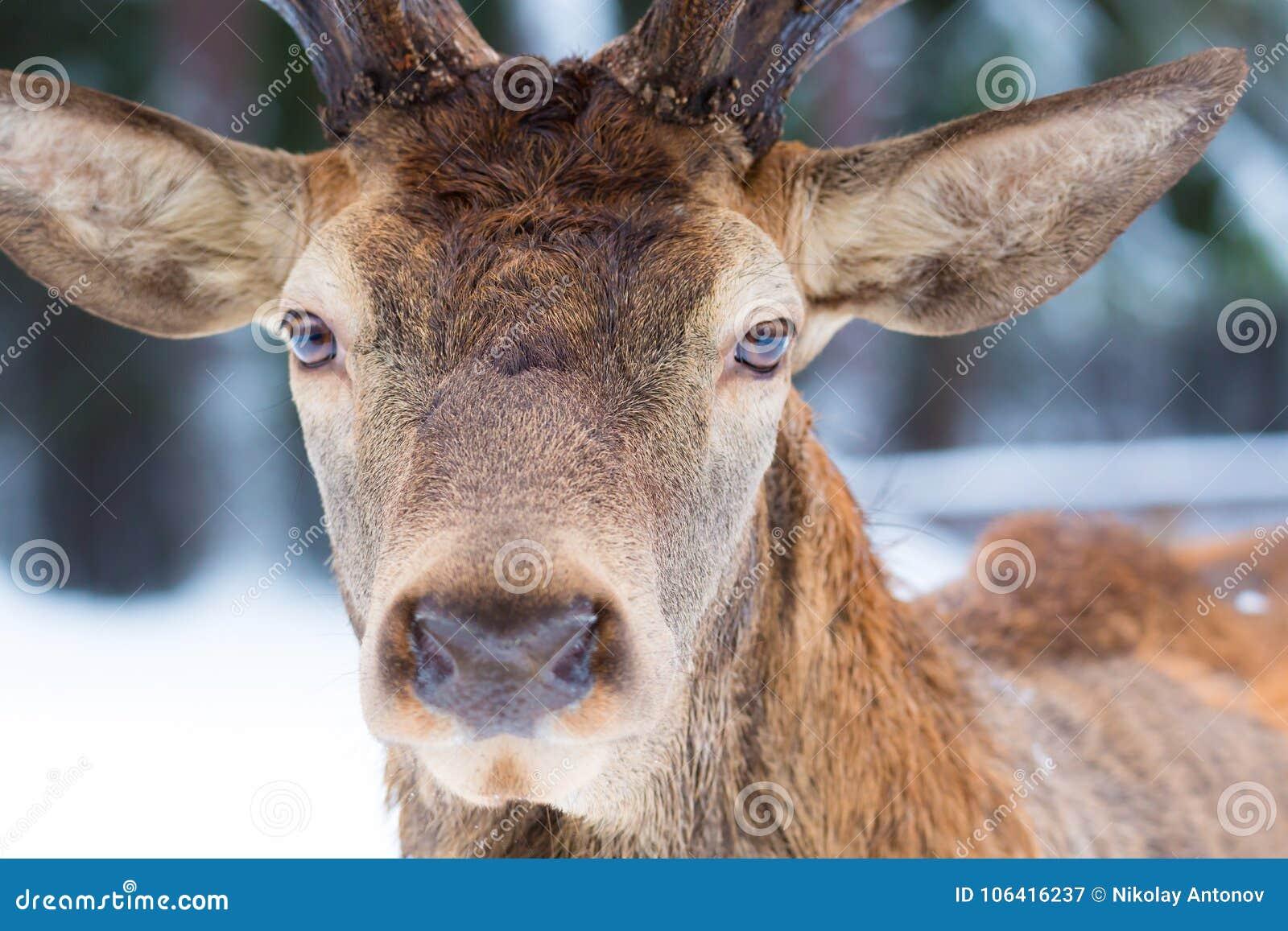 Męskiego szlachetnego jeleniego Cervus elaphus portreta przyglądający zakończenie w górę portreta w zimie