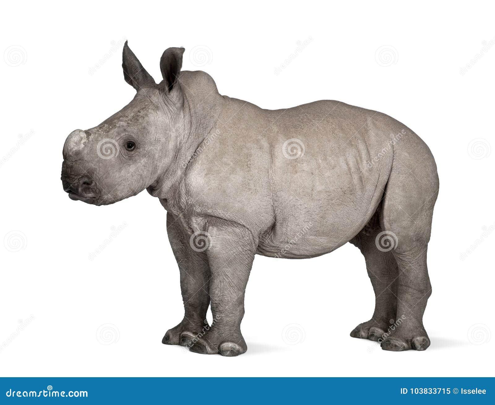 Młoda Biała nosorożec lub Lipped nosorożec - Ceratotheri