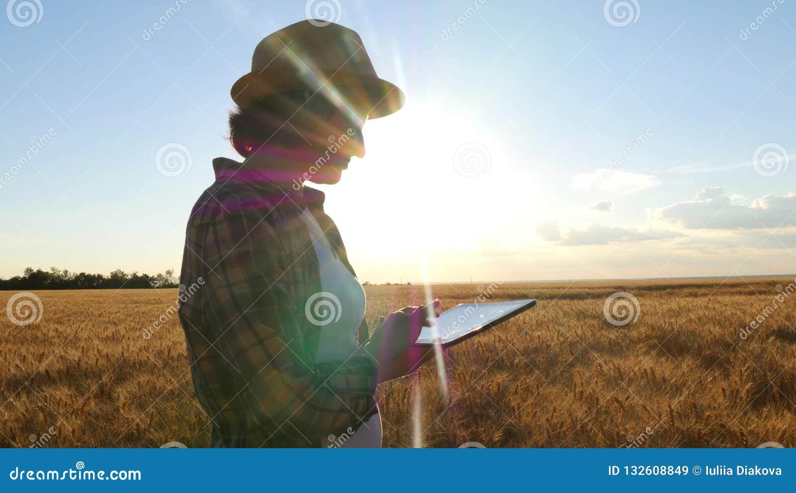 Młoda kobieta rolnik w pszenicznym polu na zmierzchu tle Dziewczyna skuba pszenicznych kolce, używa pastylkę, then