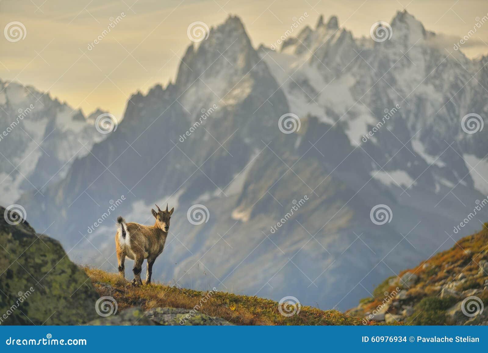 Młoda koziorożec od Francuskich Alps