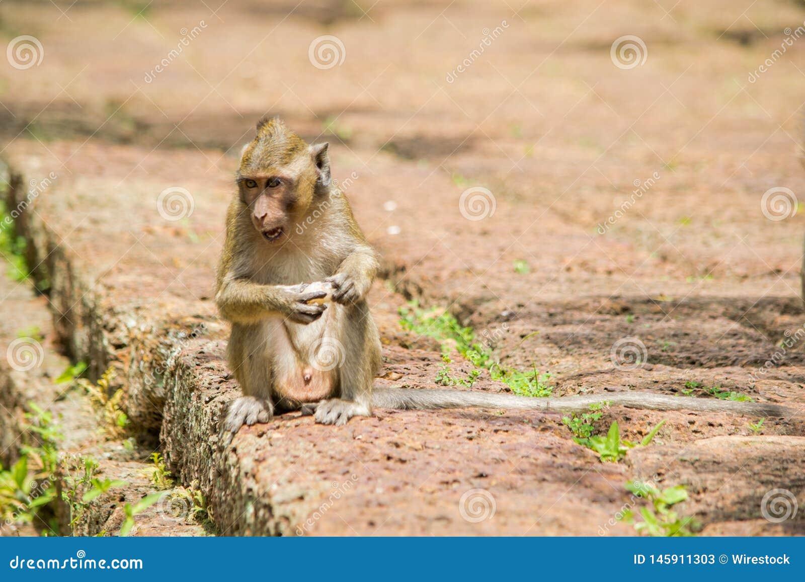 Młoda makak małpy łasowania i obsiadania owoc