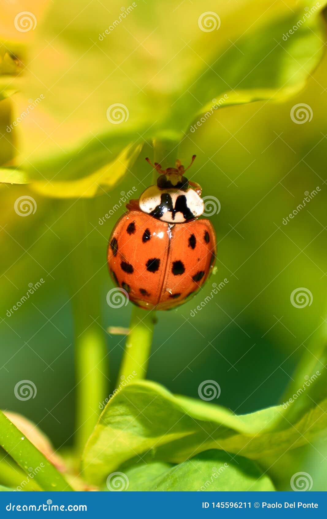 Młoda pomarańczowa biedronki pozycja na kiju porzeczkowa roślina