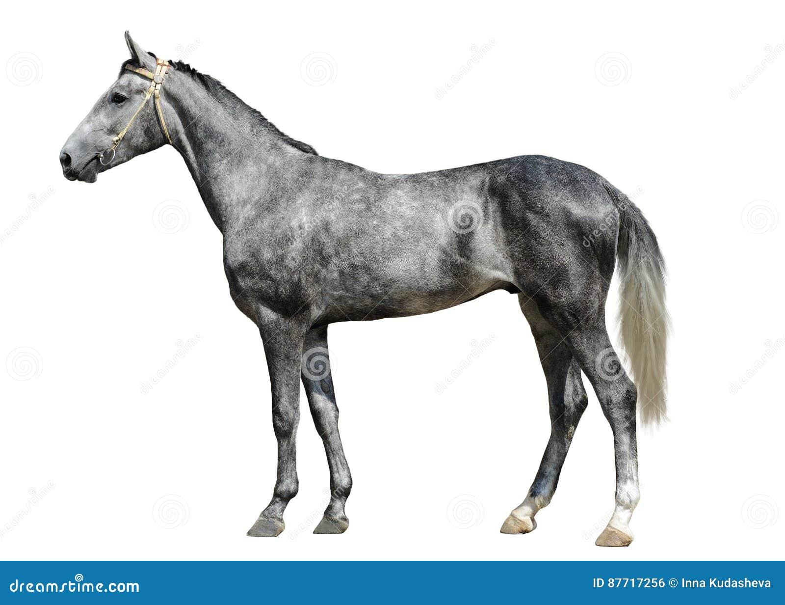 Młoda szara końska pozycja odizolowywająca na białym tle