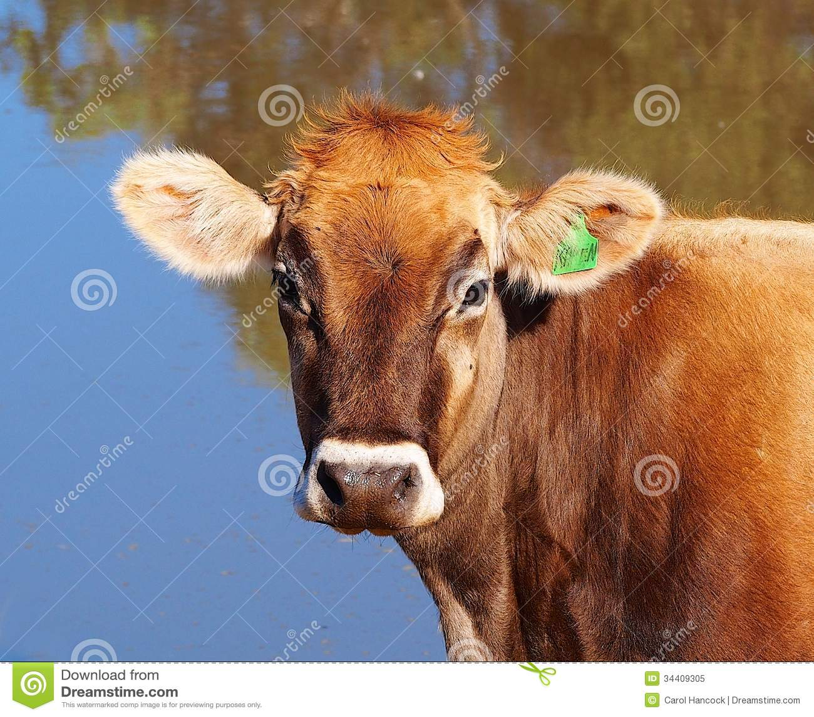 Młoda szwajcara Brown nabiału krowa