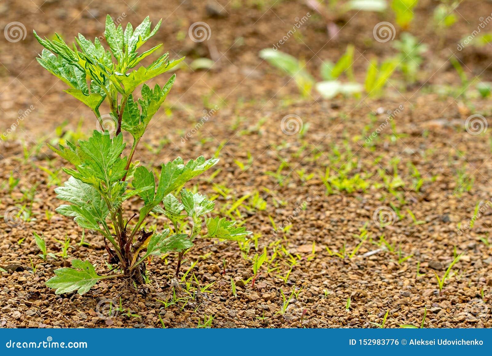 Młoda zielona roślina r przez skalistej ziemi