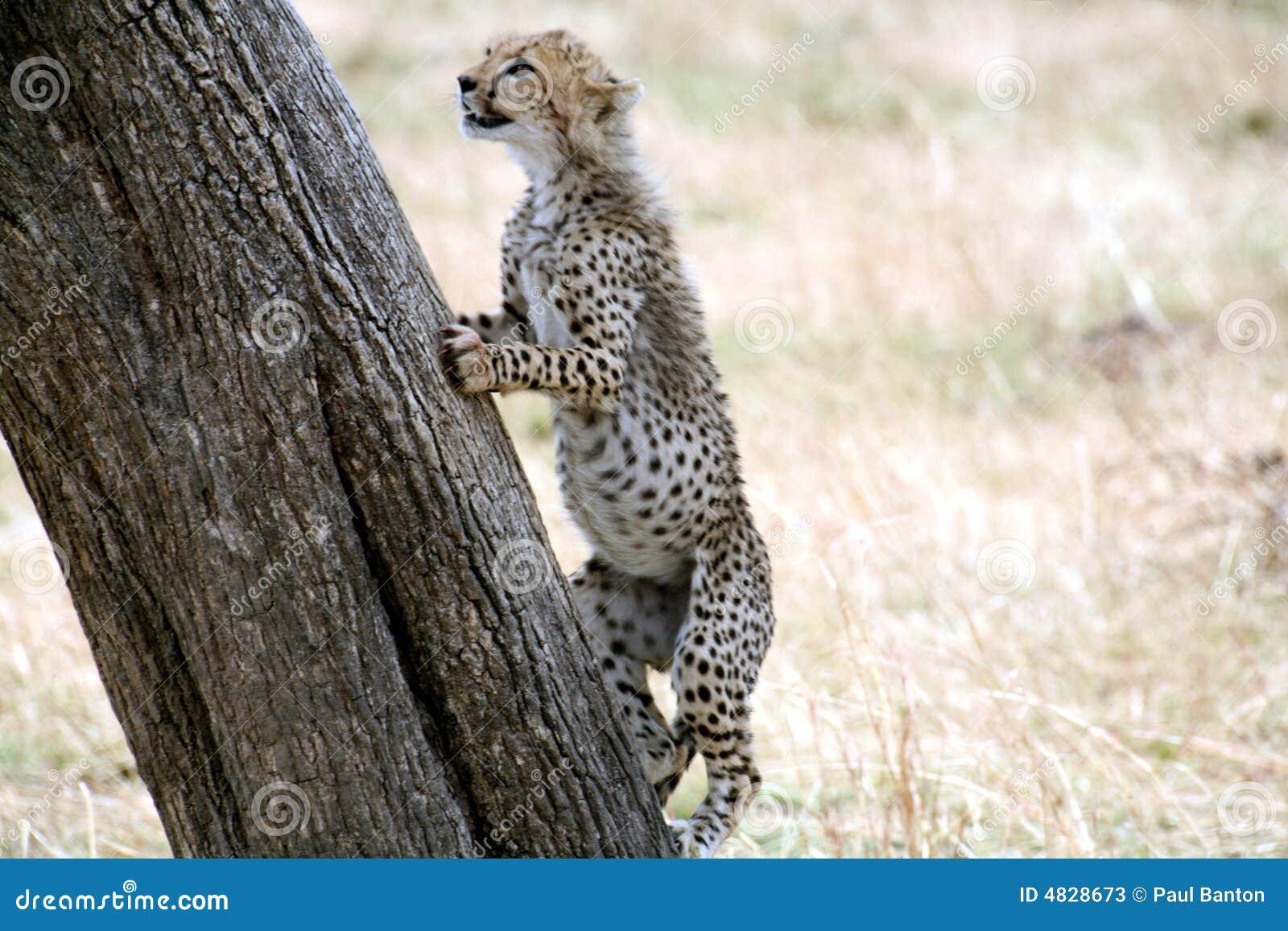 Młode drzewo wspinaczkowy geparda