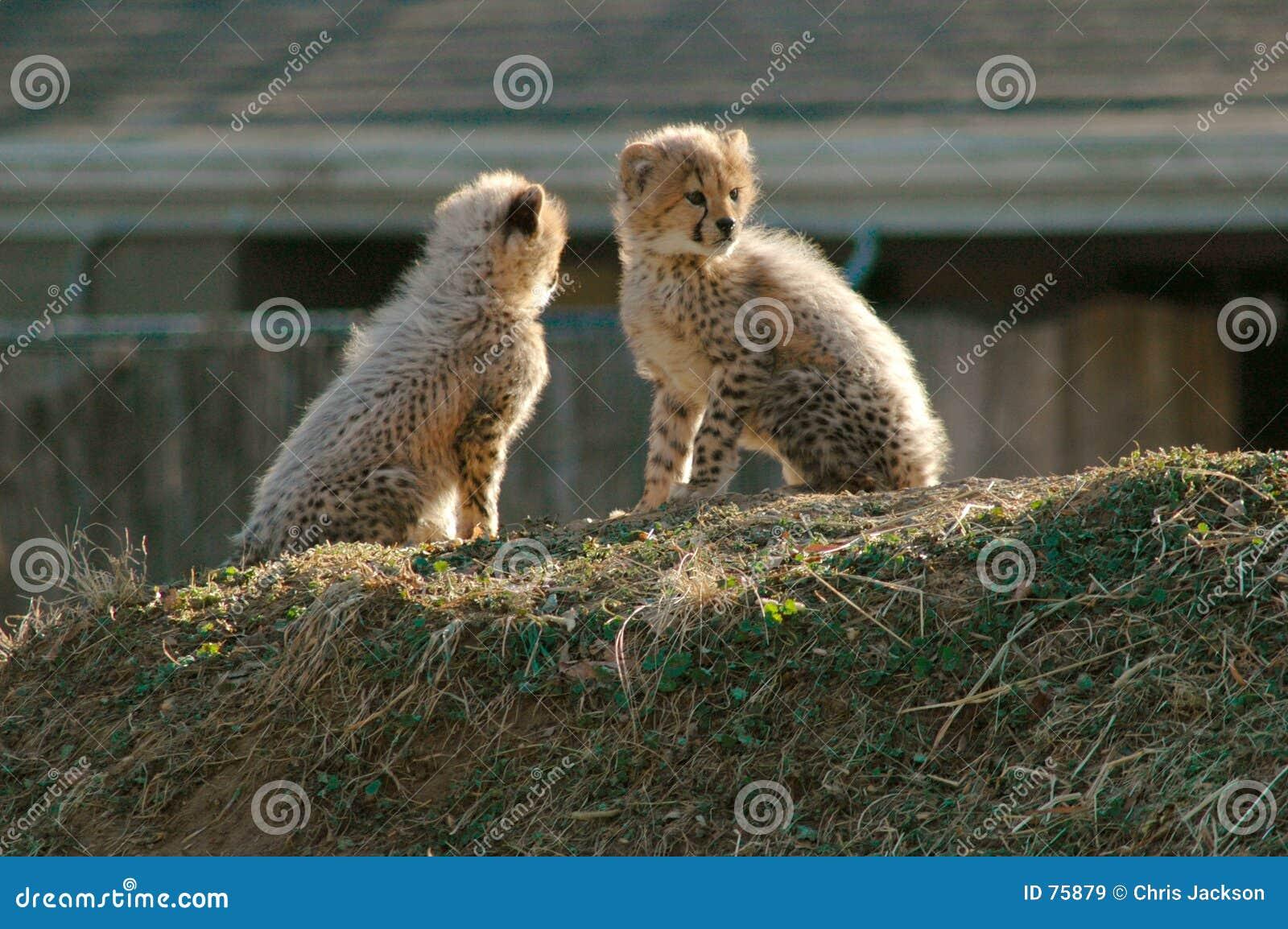 Młode gepardów