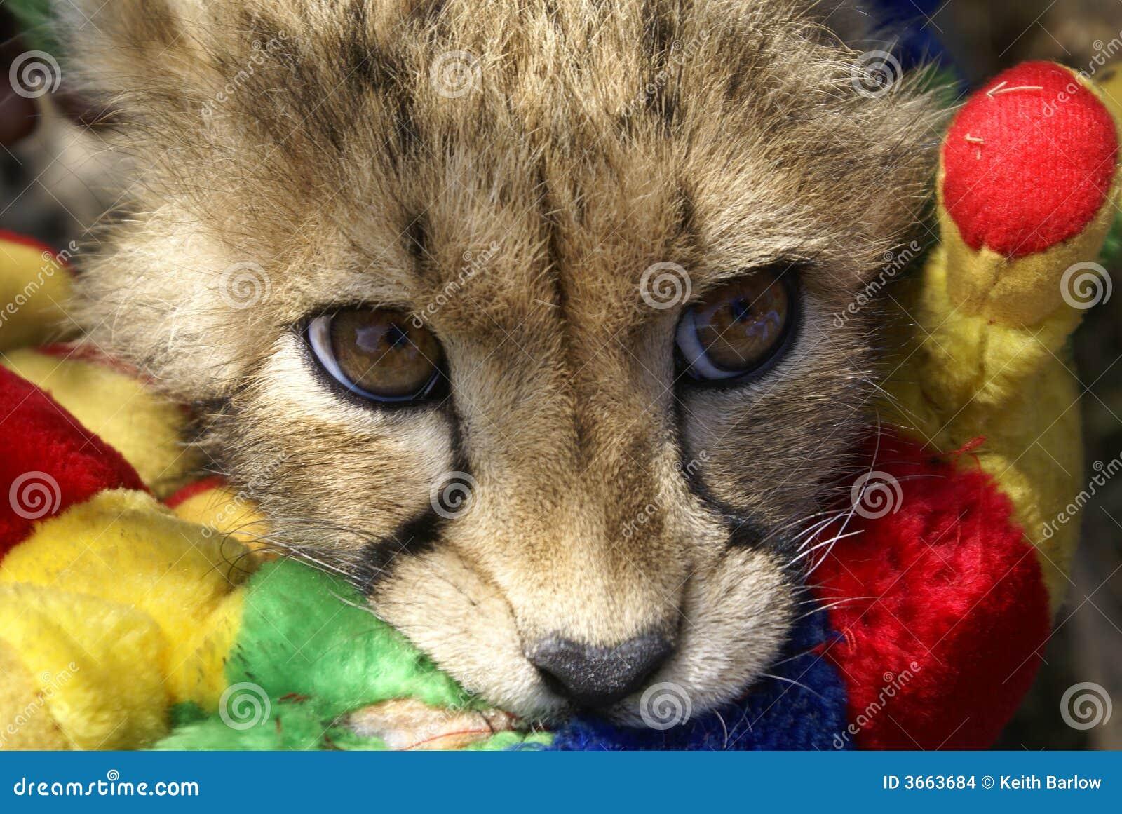 Młode geparda sztuki