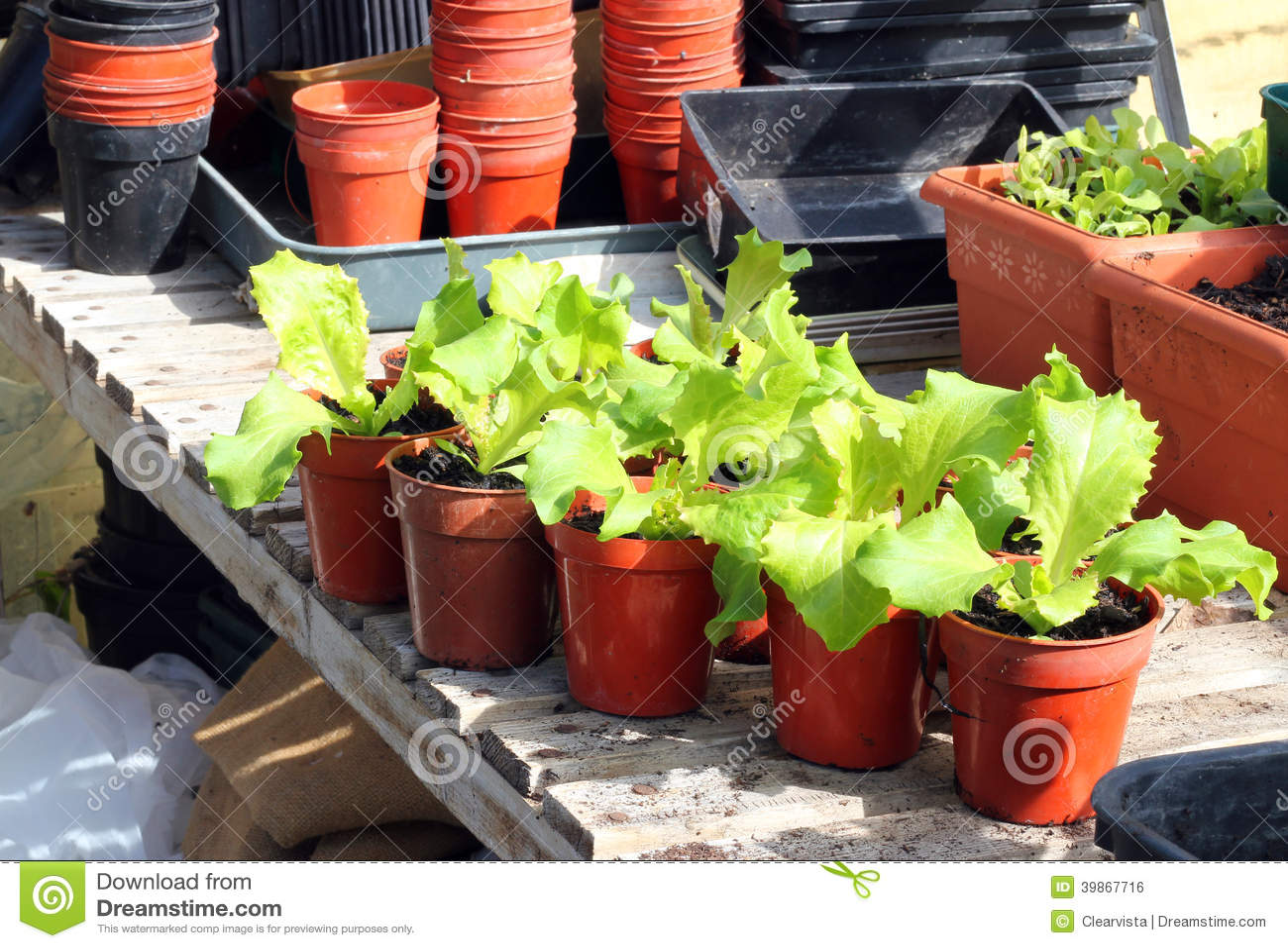 Młode sałat rośliny w garnkach.