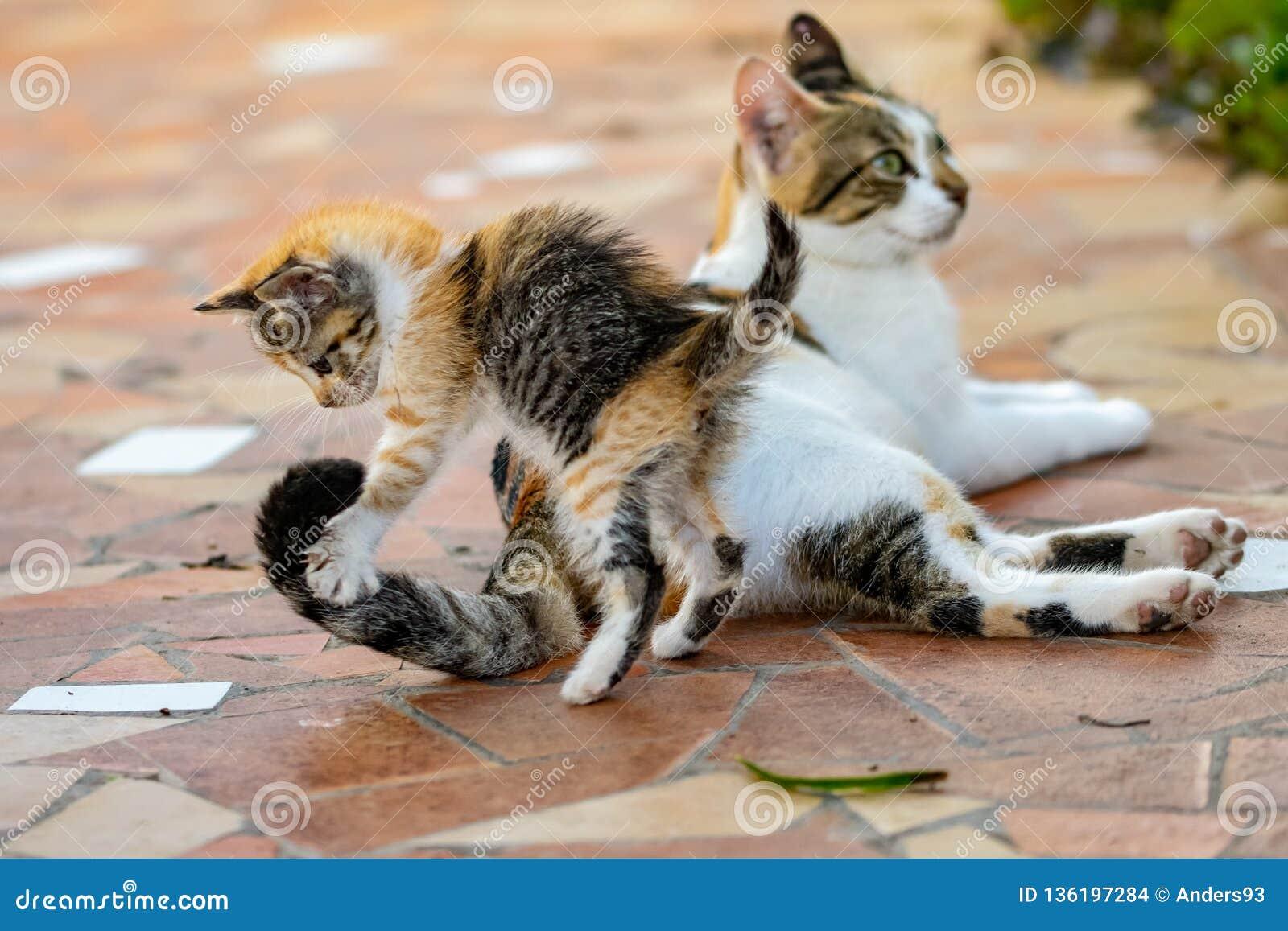 Młodego tortoieshell figlarki cycowy kot skacze na ogonie na żeńskim dorosłym kocie