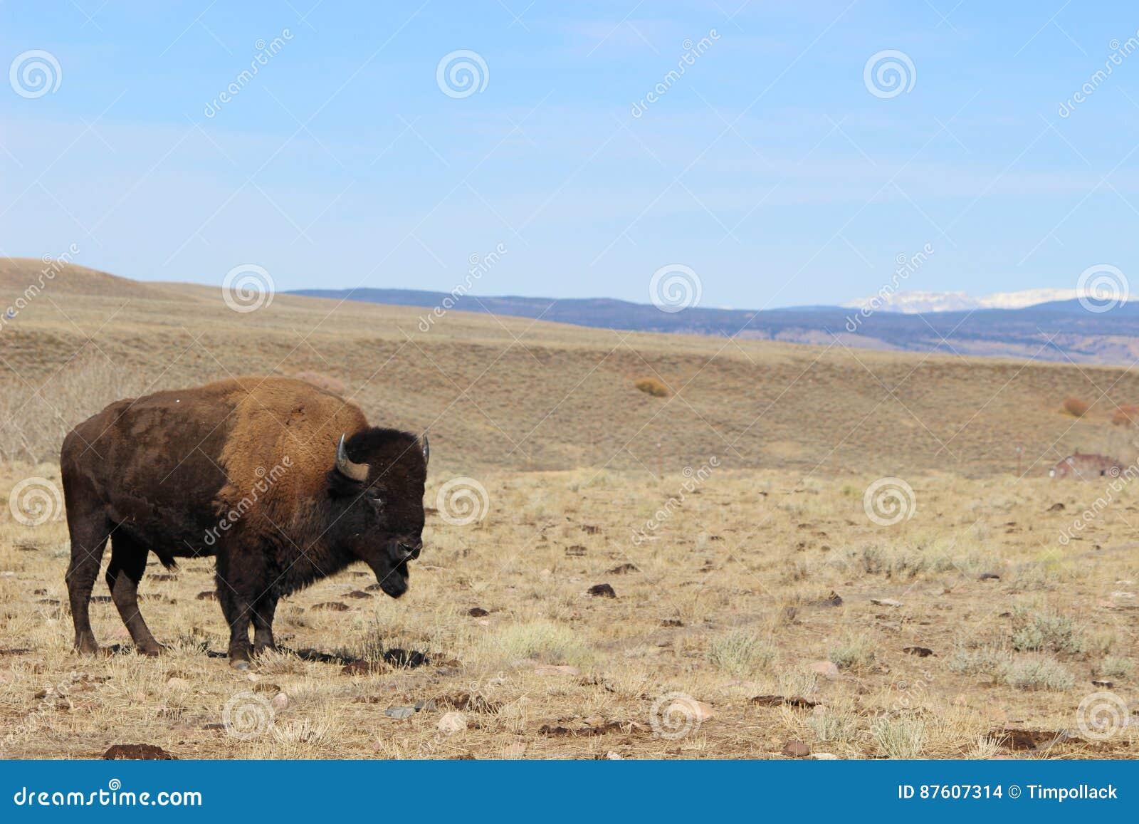 Młody żubr na Wyoming granicie