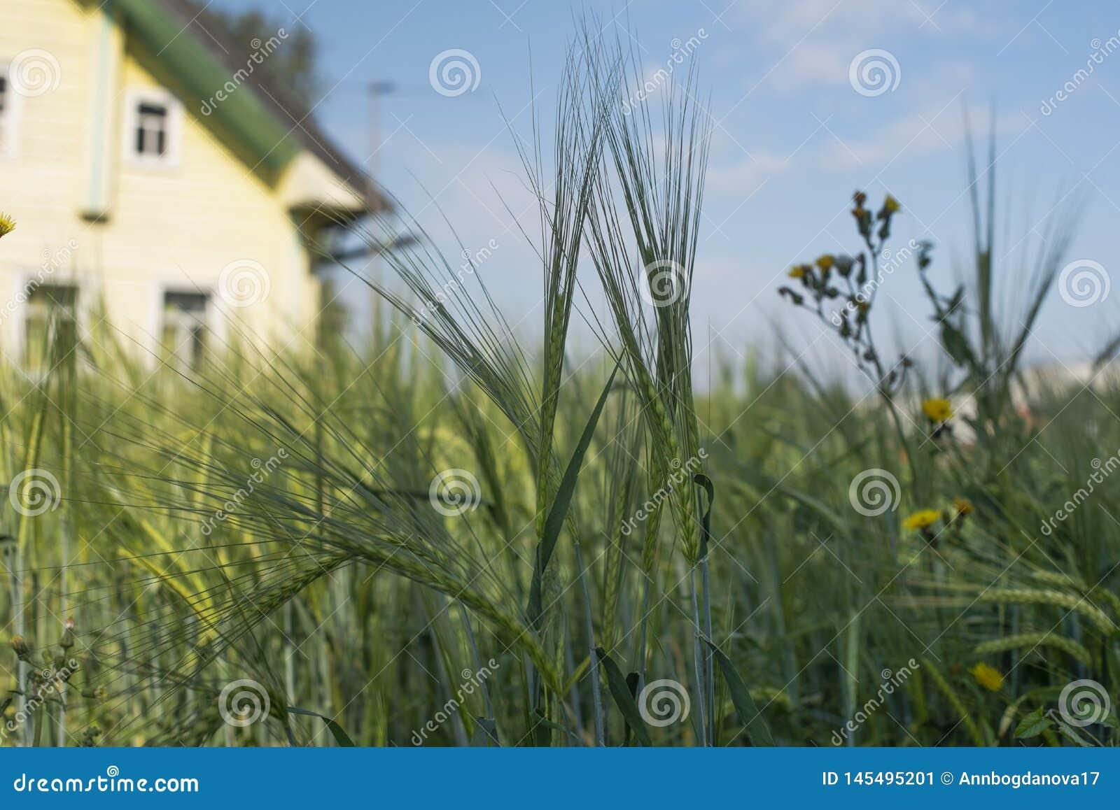 Młody żyto w polu blisko domu