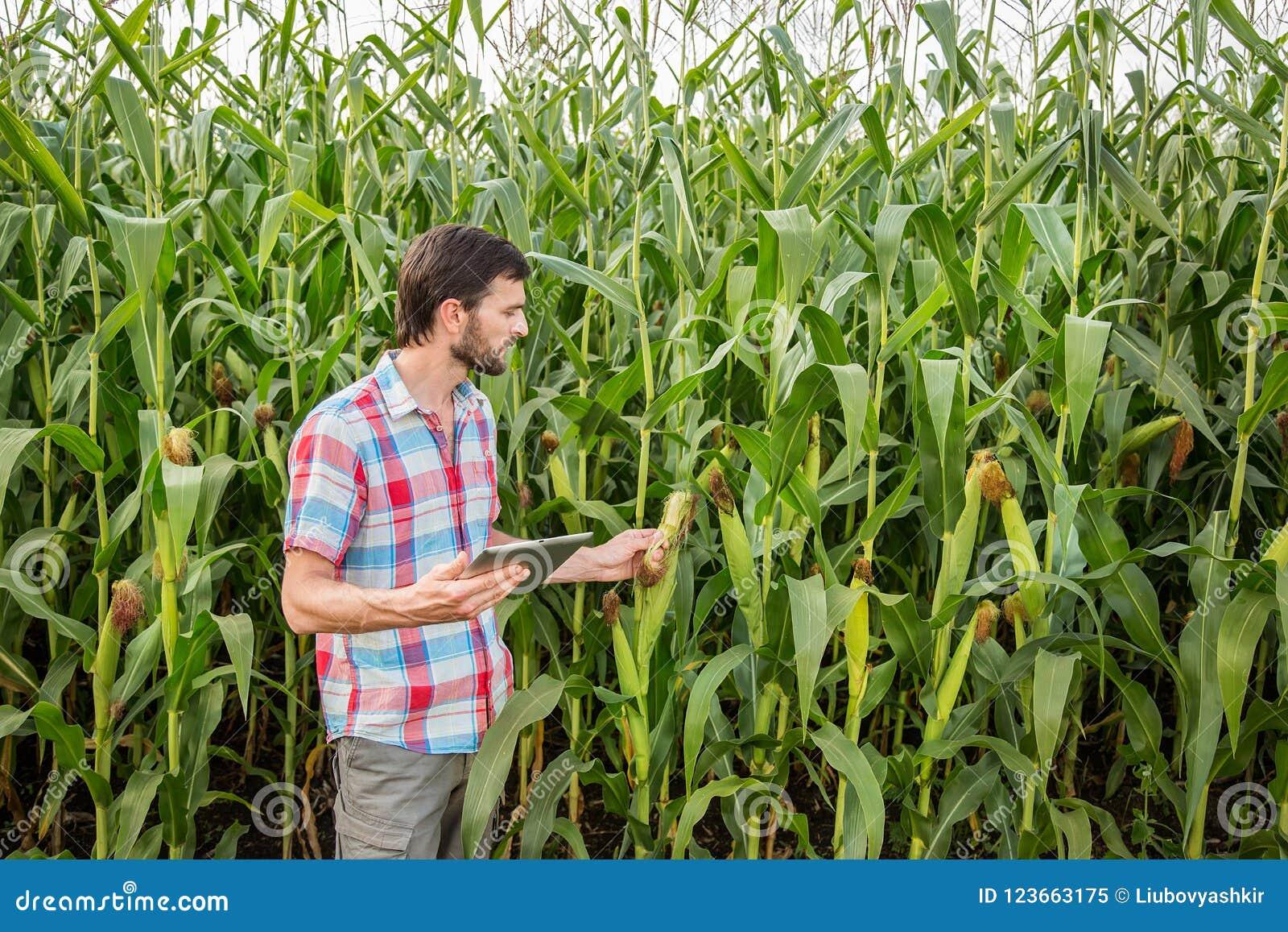 Młody atrakcyjny mężczyzna sprawdza kukurydzanych cobs w polu z brodą