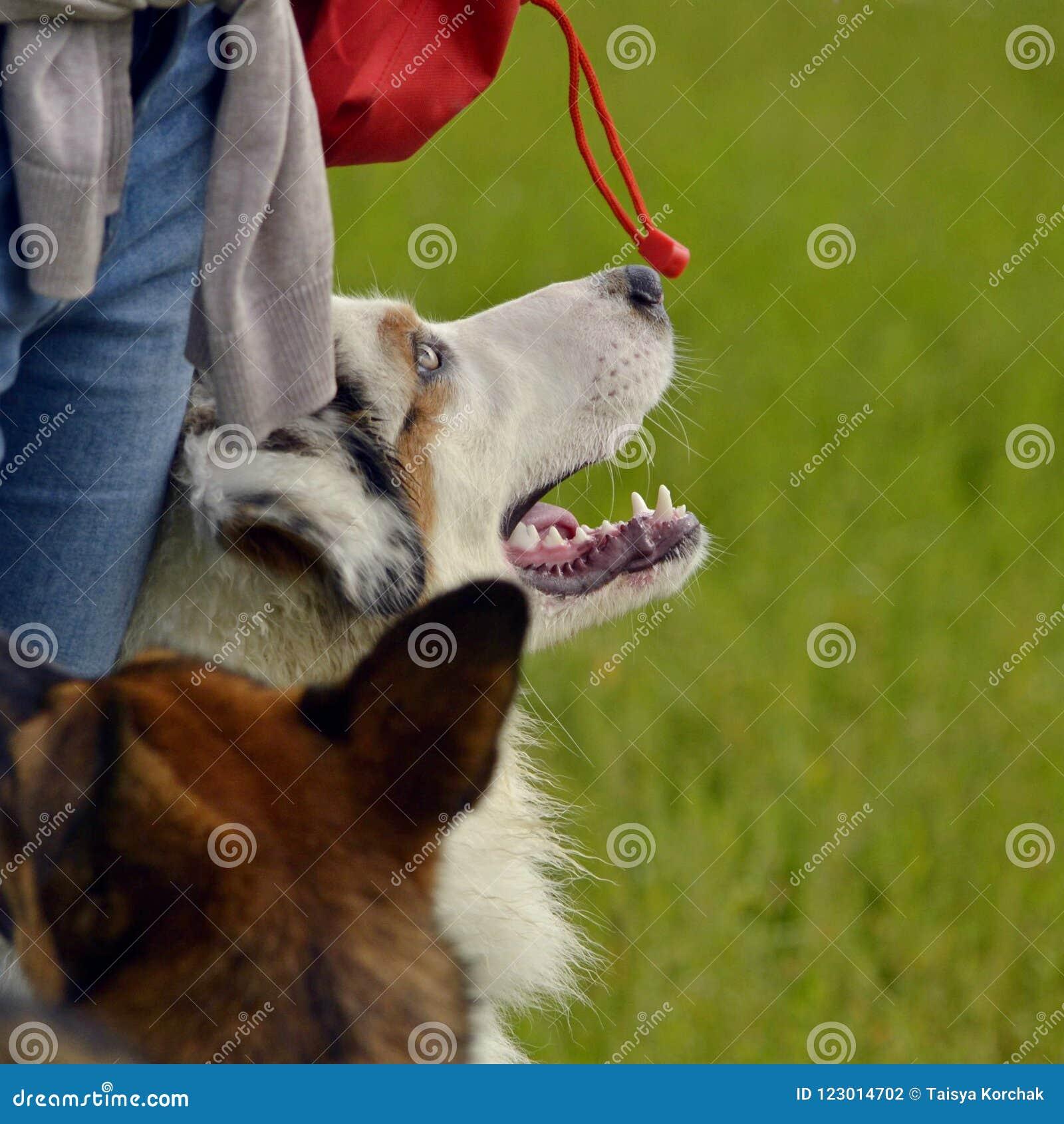 Młody australijski pasterski pies aussies Wesoło wrzawa szczeniaki Trenować psy Psia edukacja, kynologia, intensywny szkolenie po