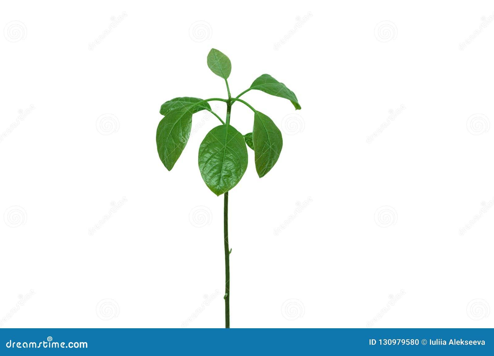 Młody avocado drzewo