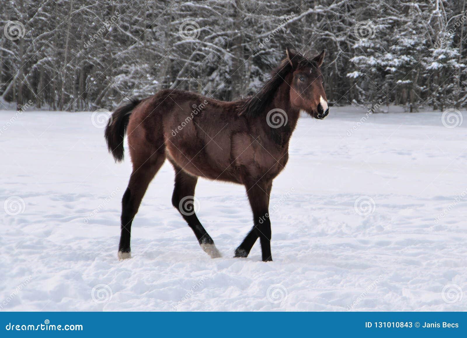 Młody brąz barwił konia z snip na swój nosa odprowadzeniu wokoło