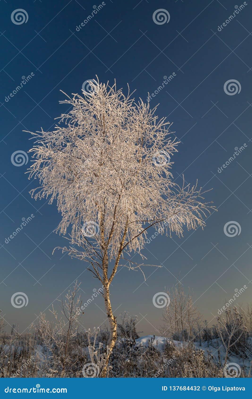 Młody brzozy drzewo zakrywający z hoarfrost na tle niebieskie niebo