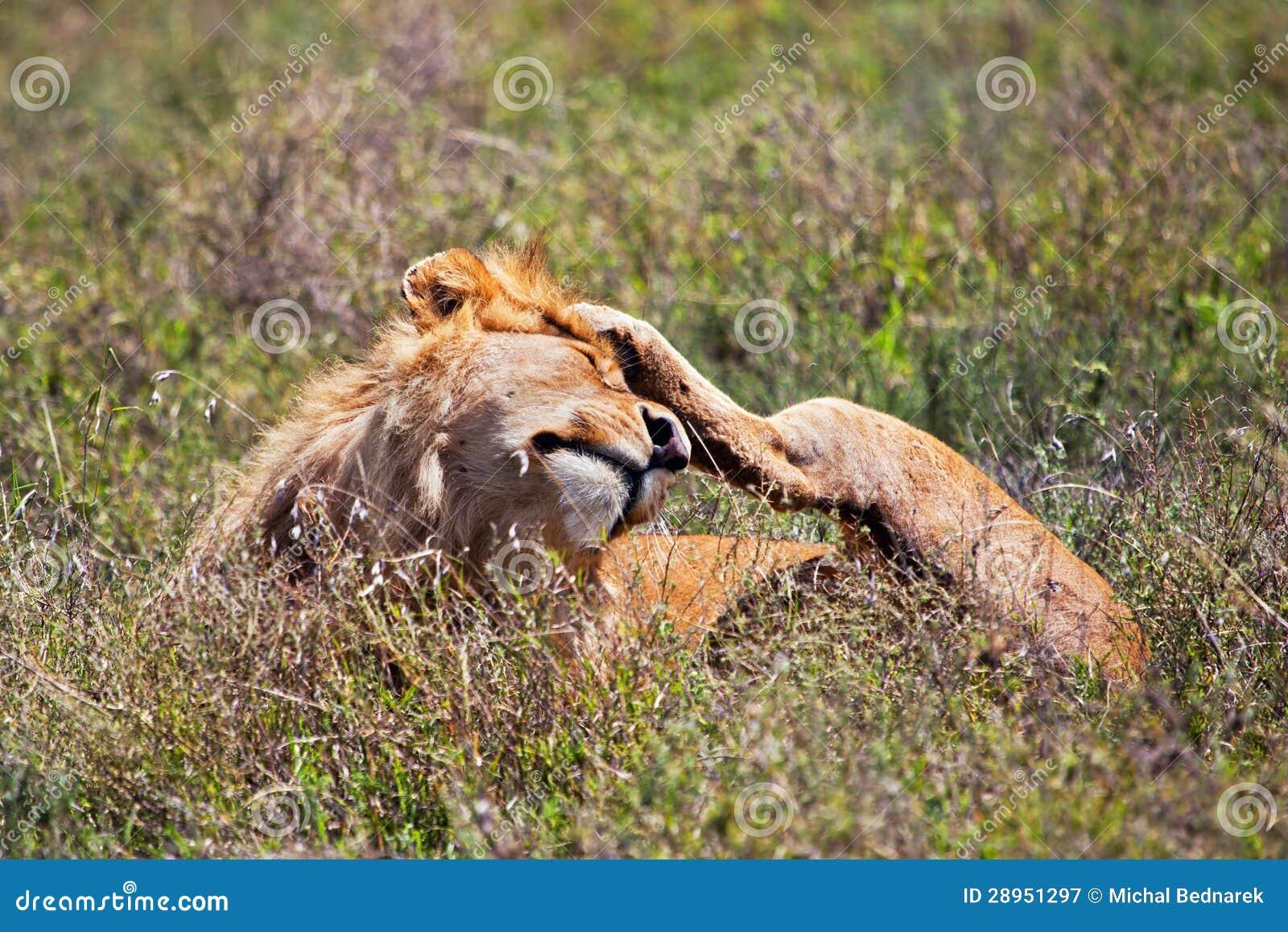 Młody dorosłej samiec lew na sawannie. Safari w Serengeti, Tanzania, Afryka