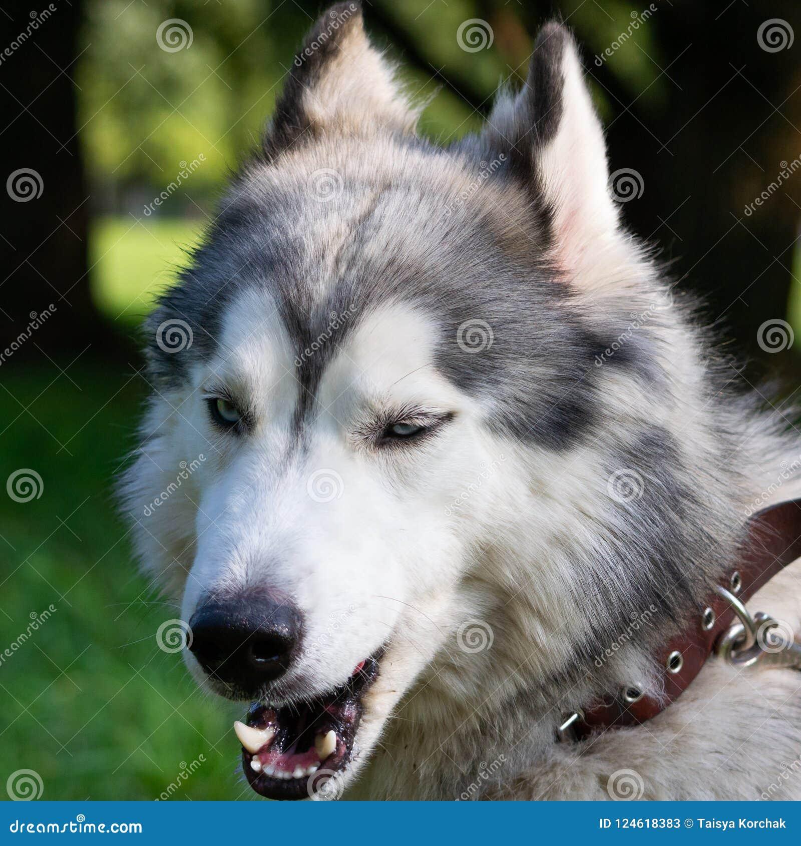 Młody energiczny pies na spacerze krzepki siberian