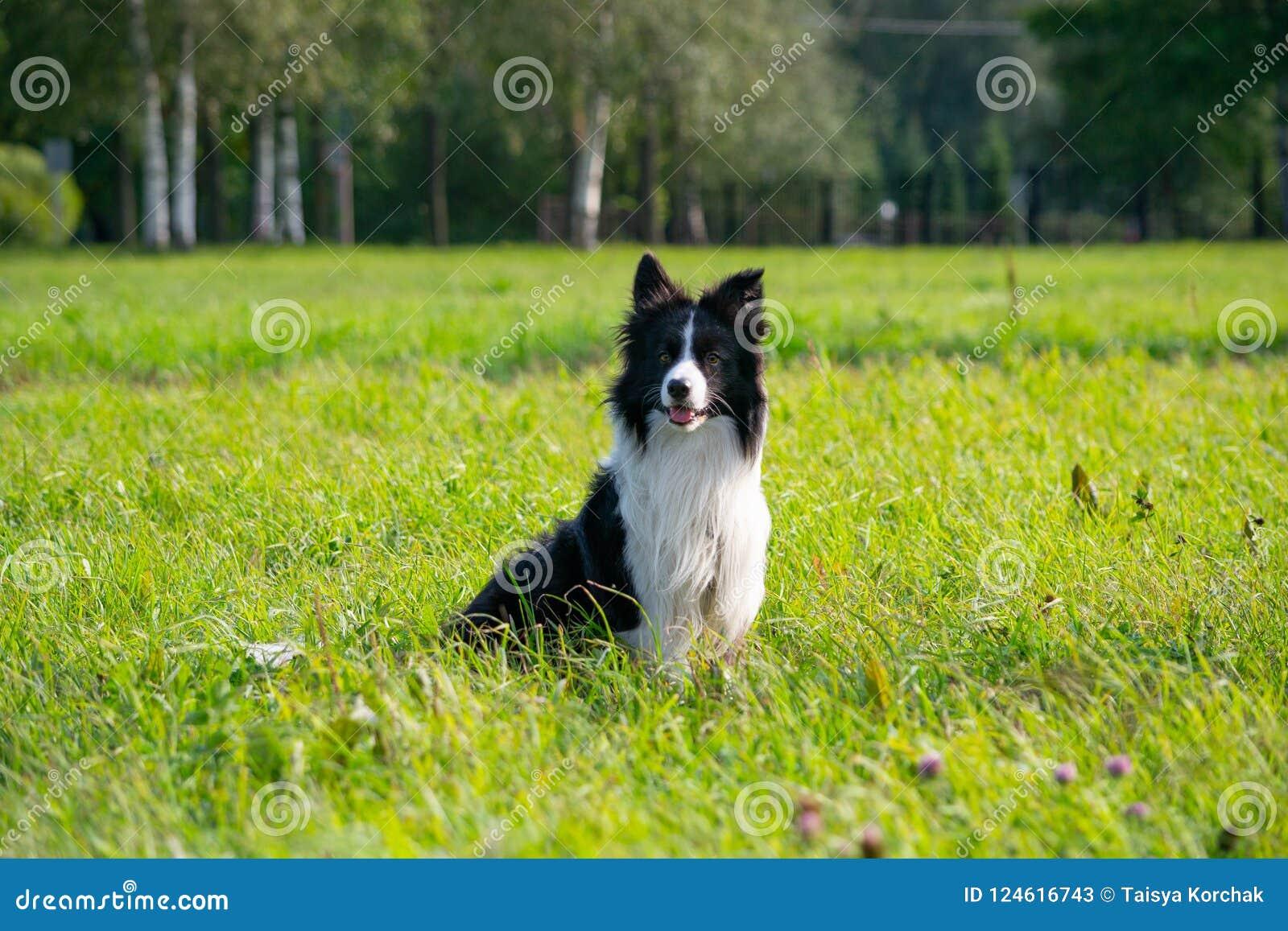 Młody energiczny pies na spacerze Rabatowy Collie