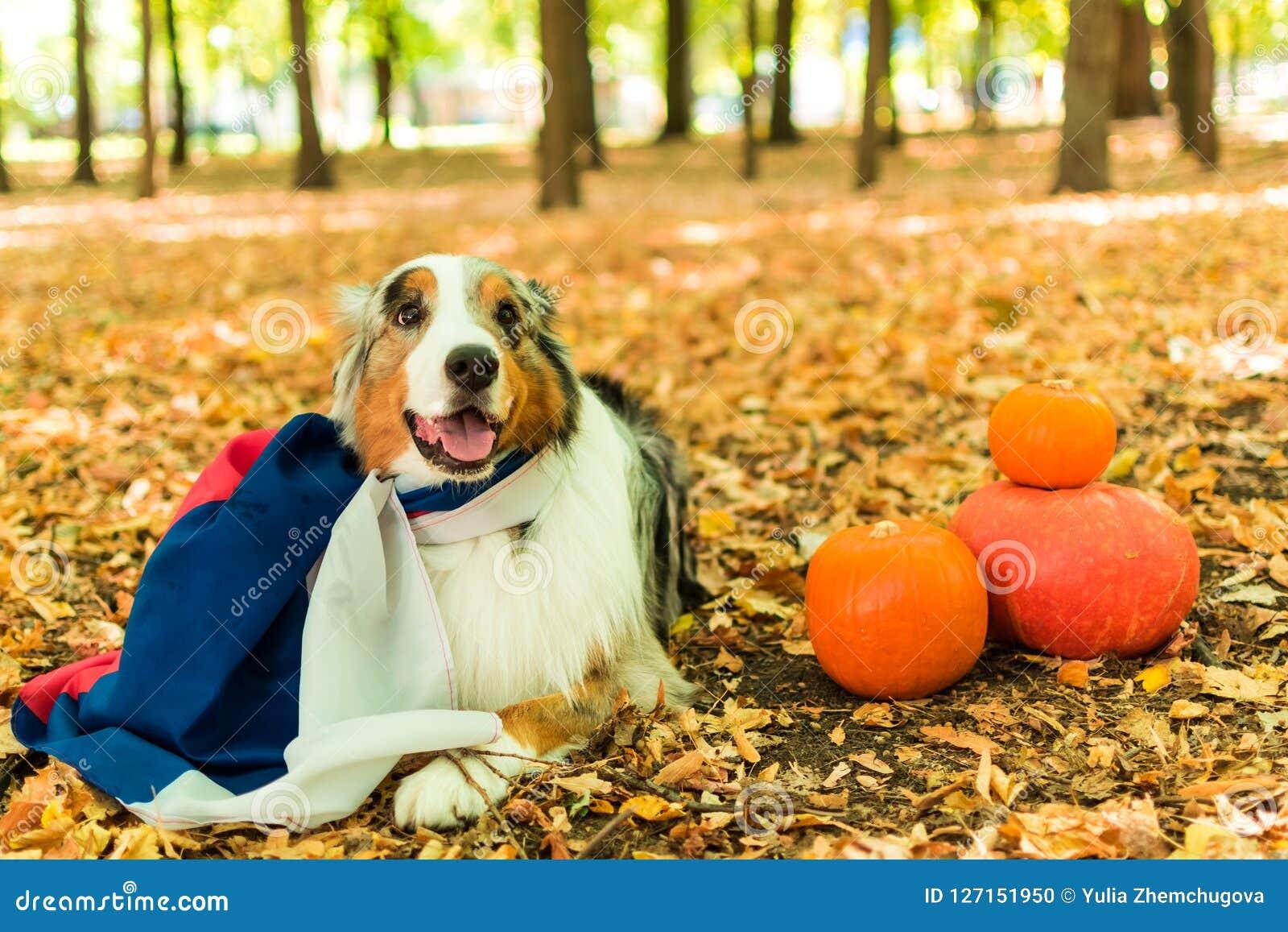 Młody figlarnie pies Australijska baca w parku w jesień lesie wykonuje rozkazy ubierający w rosjaninie