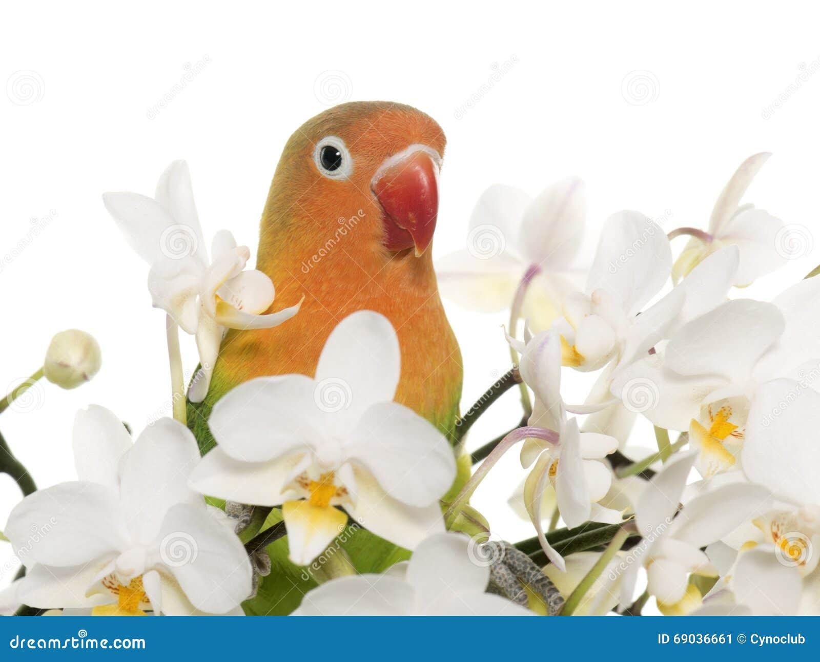 Młody fischeri lovebird