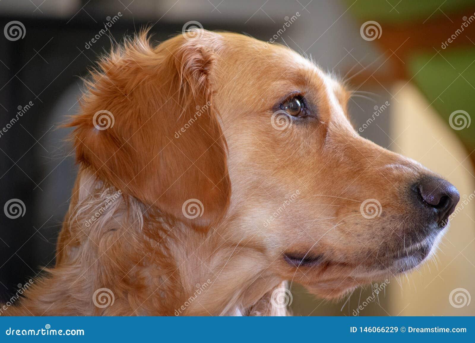 Młody golden retriever profilu widok
