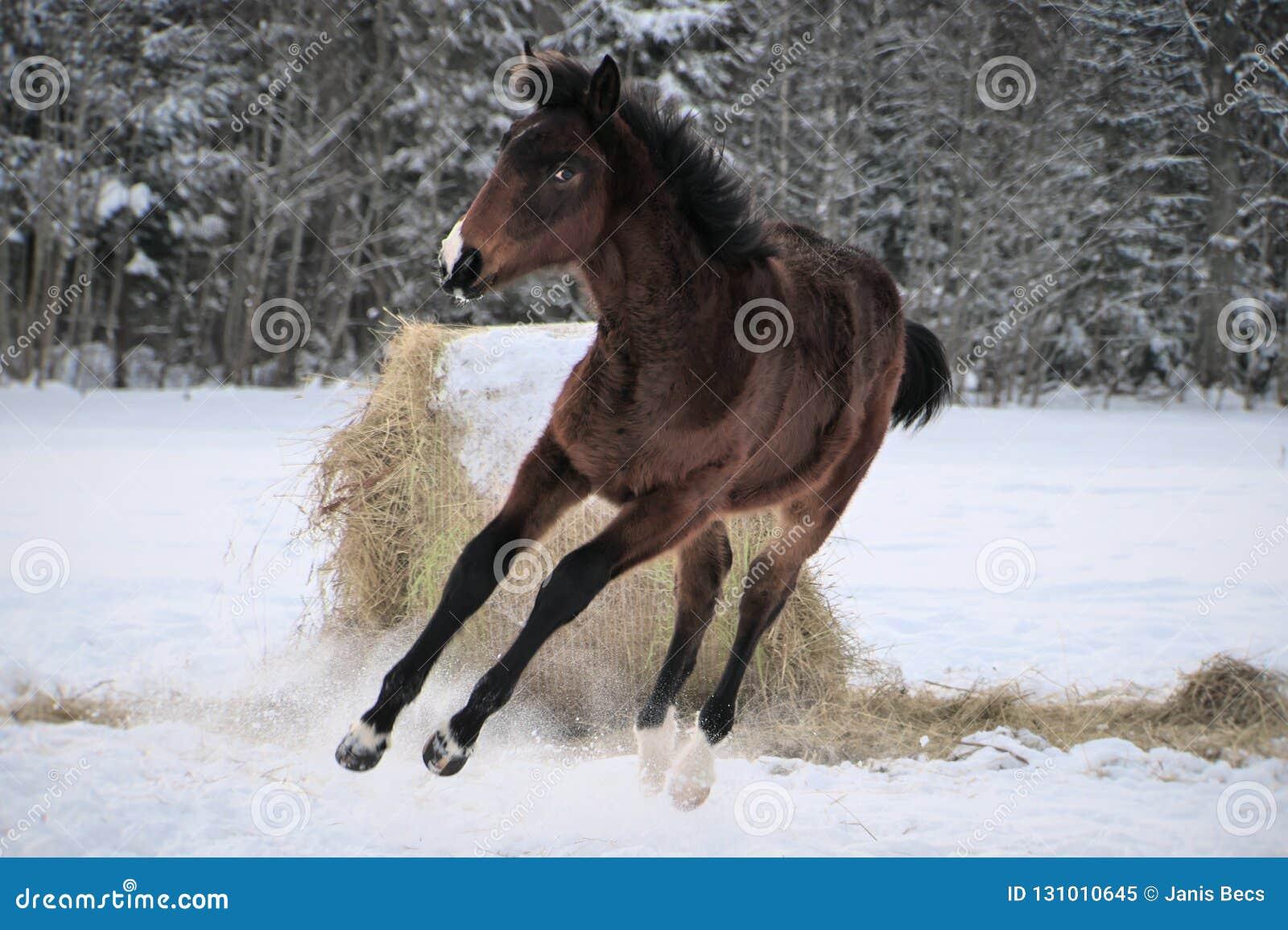 Młody koń z snip na swój nosów skokach radość