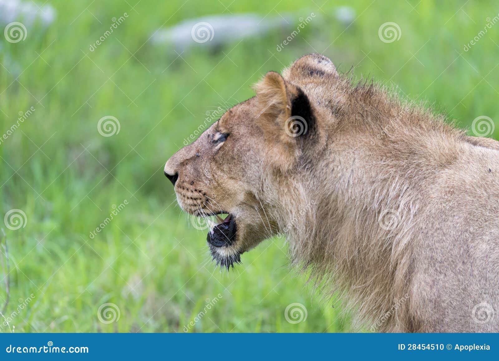 Młody męski lew w ranku (zakończenie up)