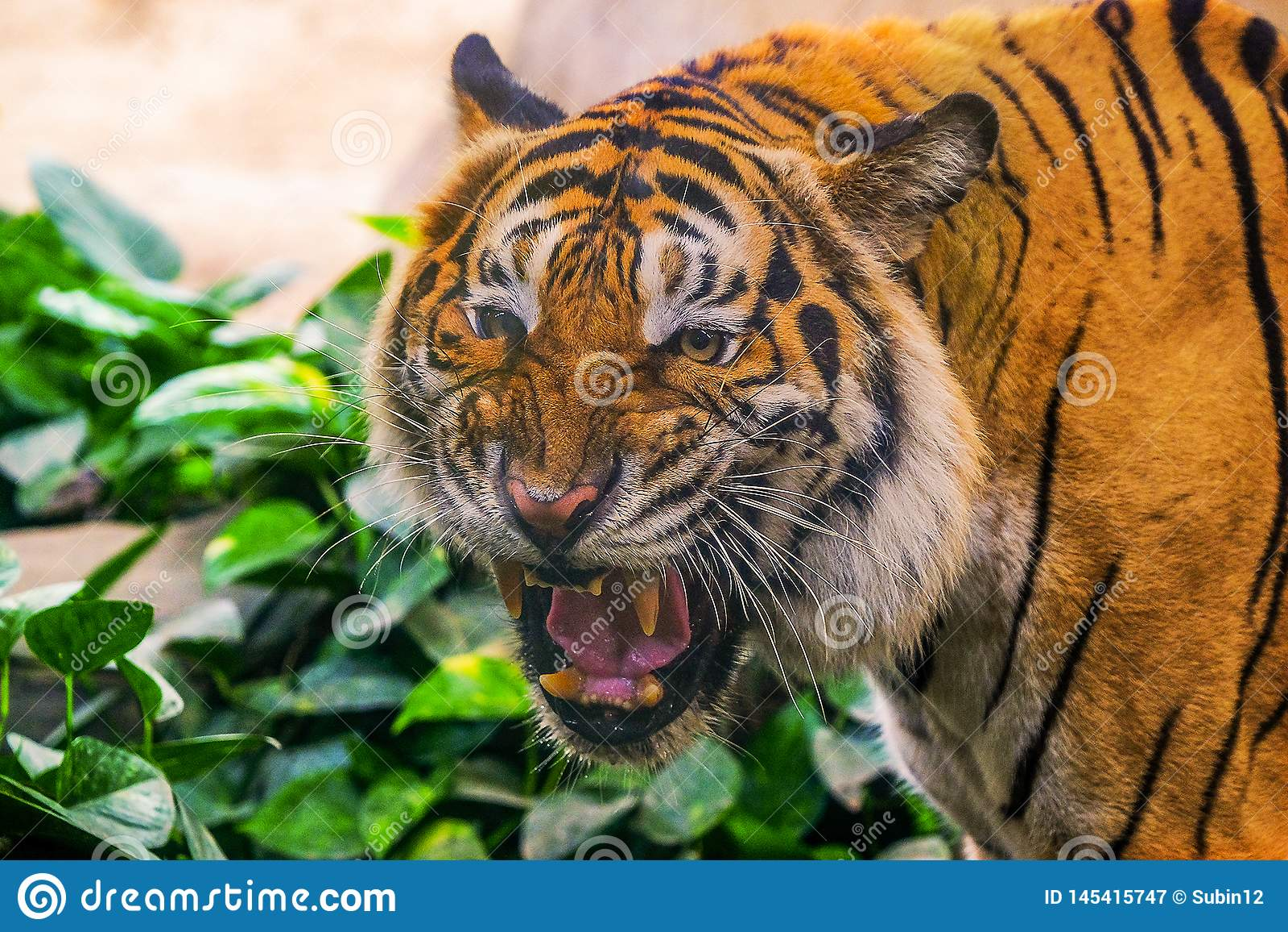 M?ody siberian tygrys w akcji