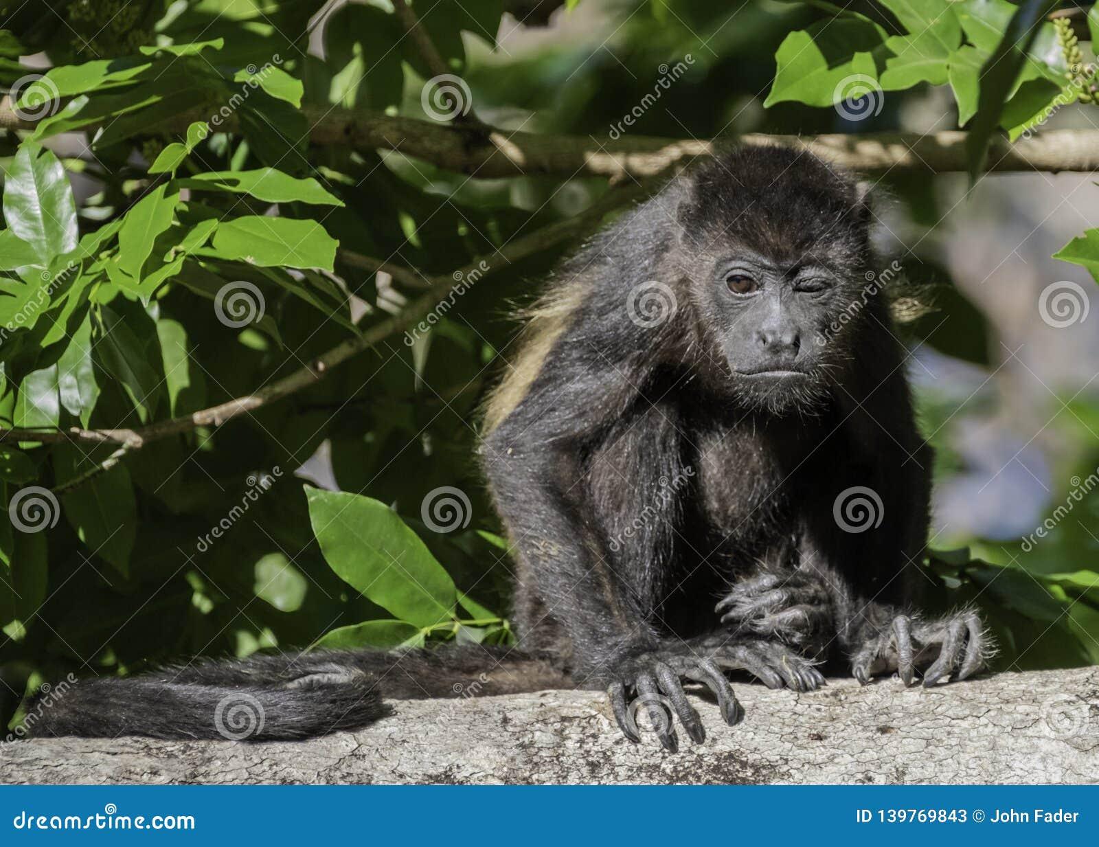 Młody wyjec małpy obsiadanie i mrugać