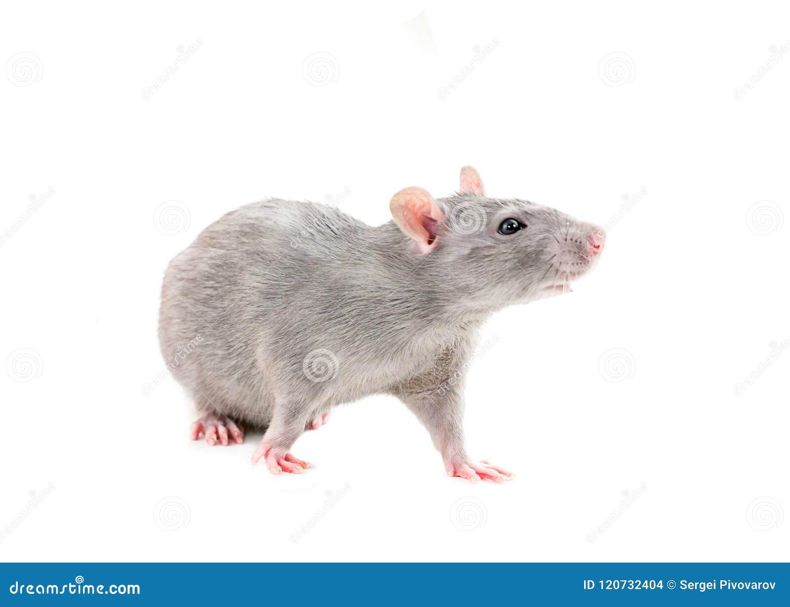 Młodych szarych szczurów figlarnie młody żwawy na białego odosobnionego tła pięknym hobby dla dzieci odpowiedzialnych dla zwierzę