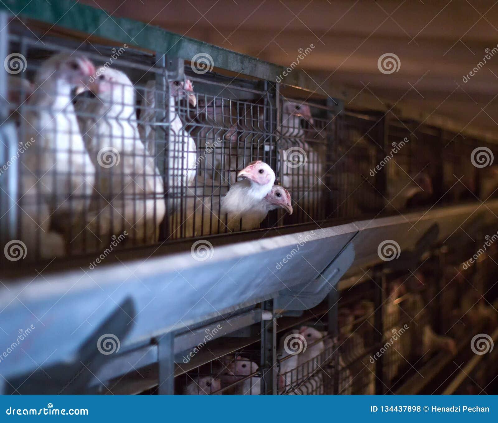 Młodych zwierząt naturalni mięśni kurczaki, lęgowy kurczak na gospodarstwie rolnym, przemysł, w górę, organicznie
