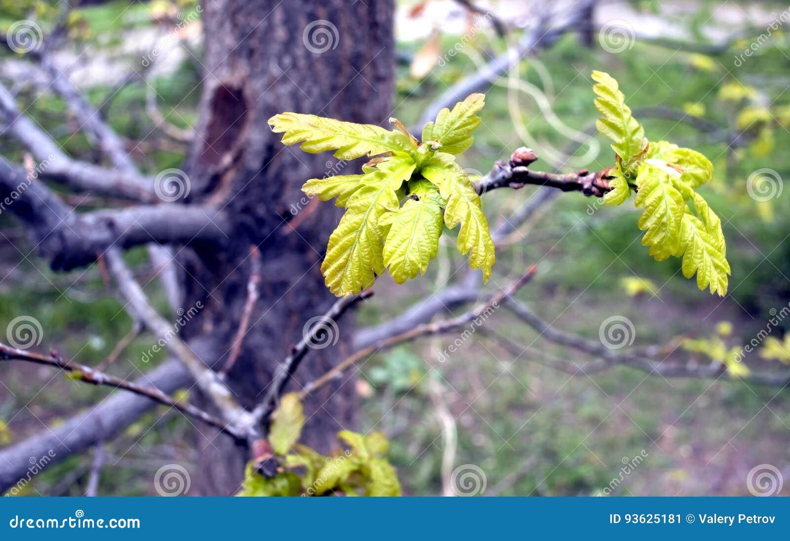 Młodzi liście dąb