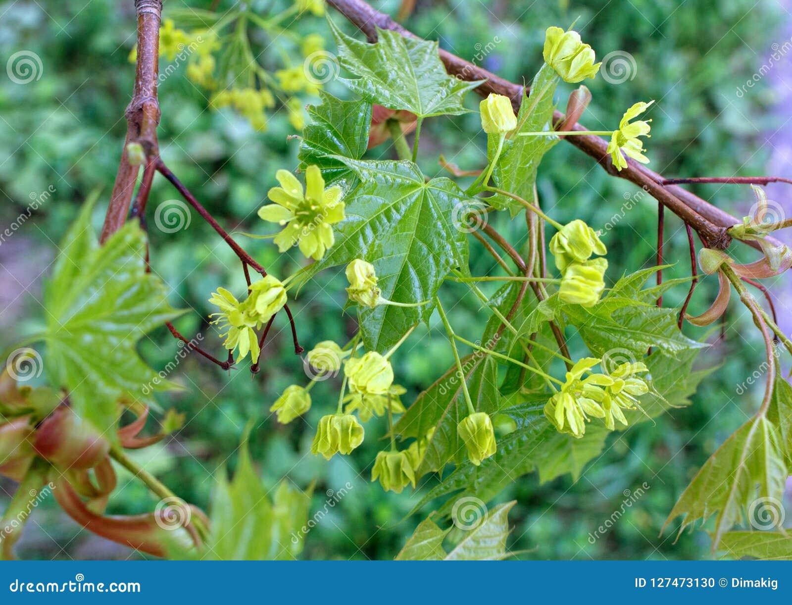 Młodzi liście klonowi i kolor żółty kwitną w wiośnie Kwitnący klonowy drzewo