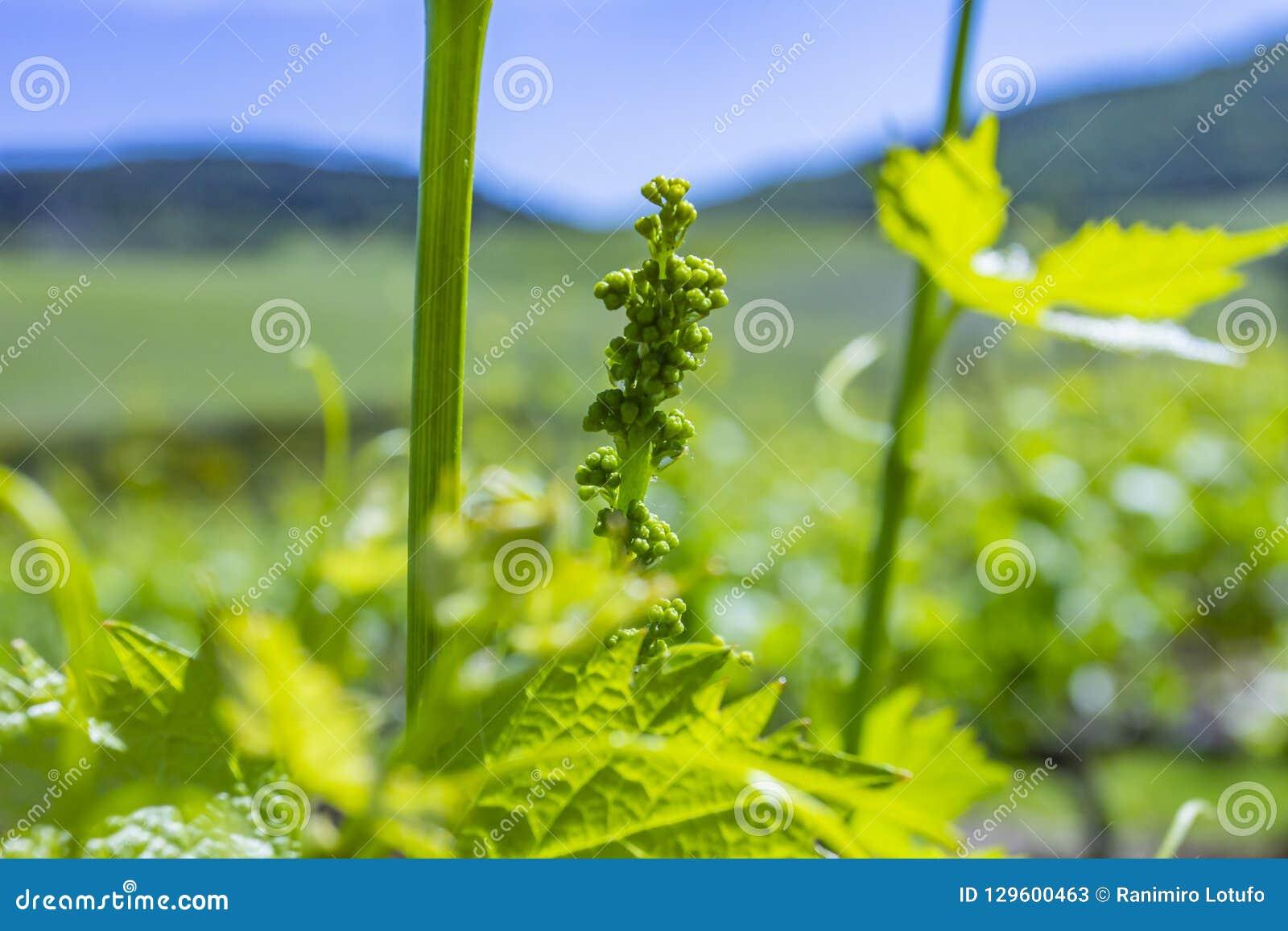 Młodzi liście winogrona w świetle słonecznym przy zmierzchem Młody kwiatostan winogrona na winogradu zakończeniu Gronowy winograd