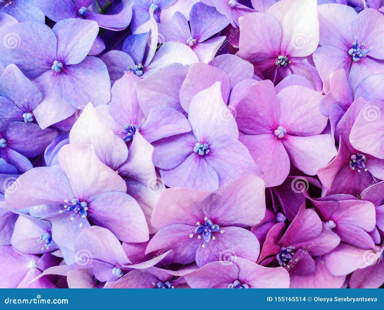 Młodzi purpurowi hortensja kwiatów krzaki w lecie uprawiają ogródek