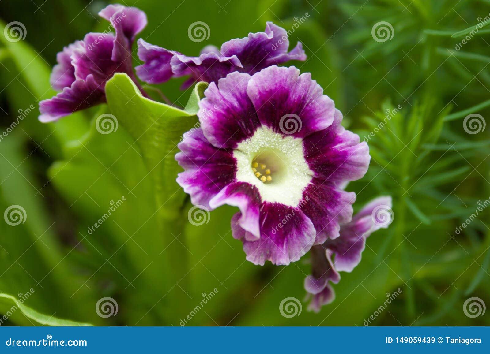 Royal primrose or primula in the garden