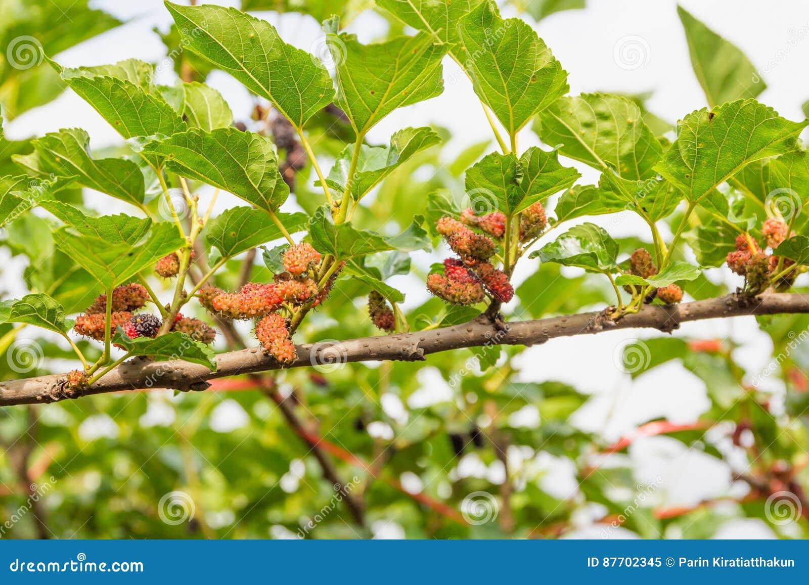 Mûres non mûres rouges sur la branche