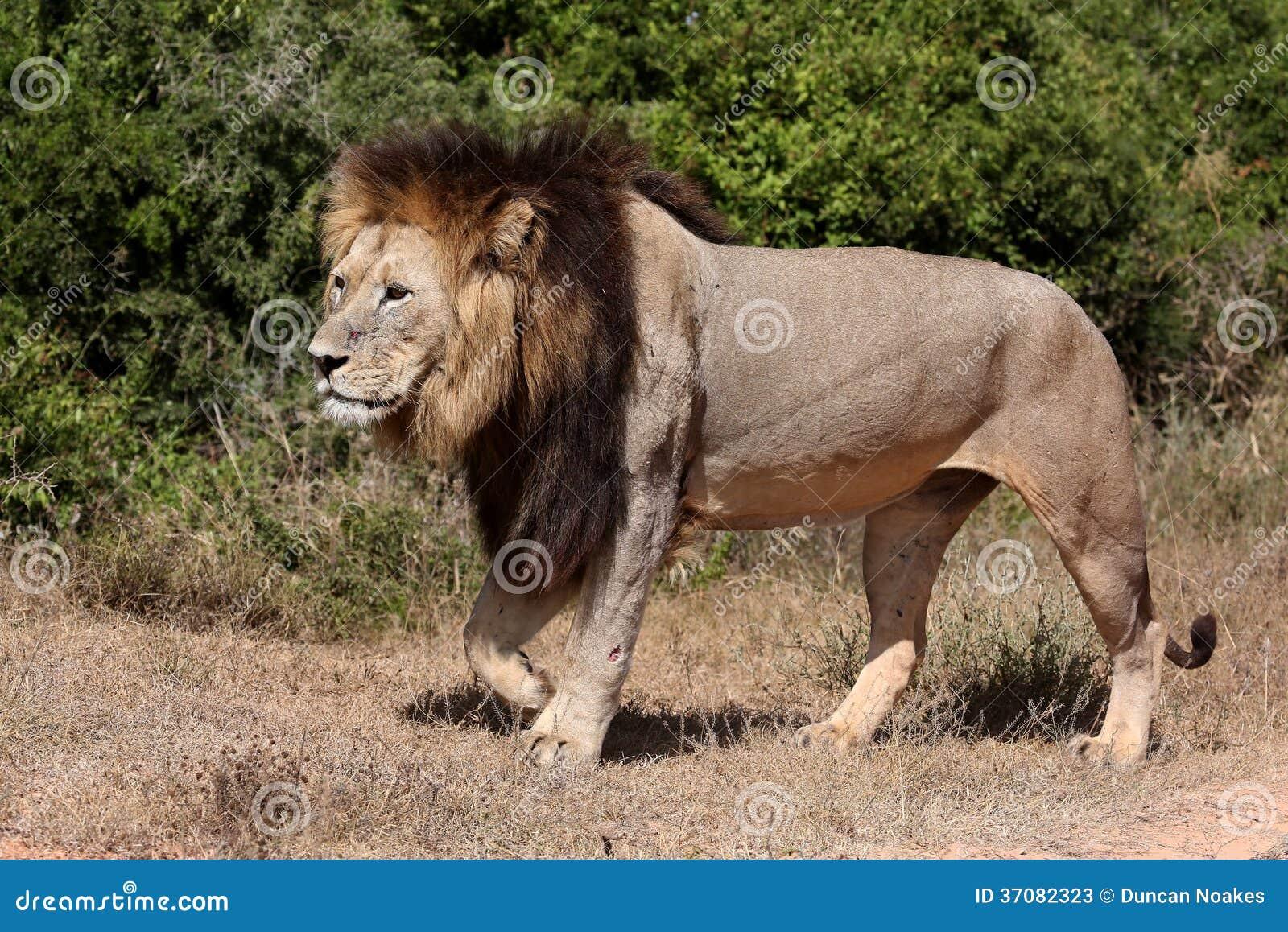 Download Męski lwa odprowadzenie obraz stock. Obraz złożonej z turystyka - 37082323